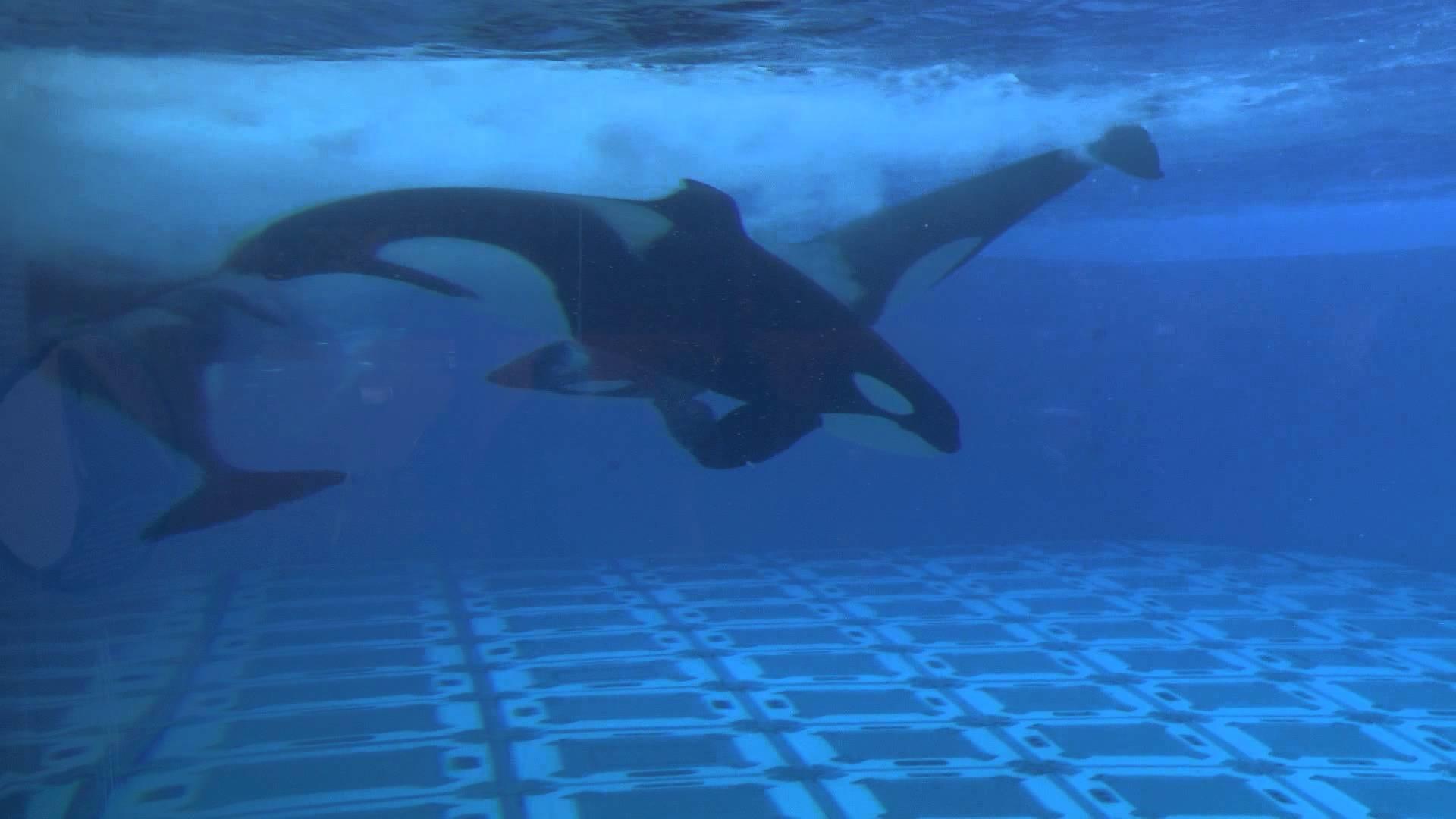 Res: 1920x1080, [HD1080p50] Shamu Stadium, Underwater Viewing, Seaworld Orlando, Florida  2013 - YouTube