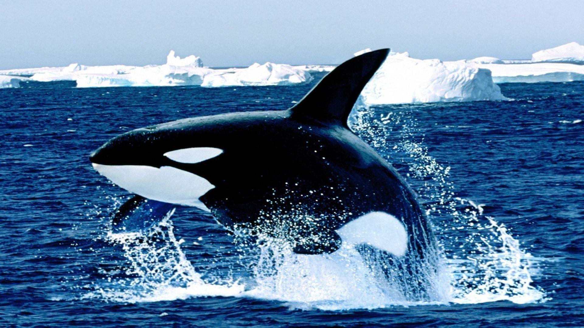Res: 1920x1080, Emerging killer whale free desktop background - free wallpaper image