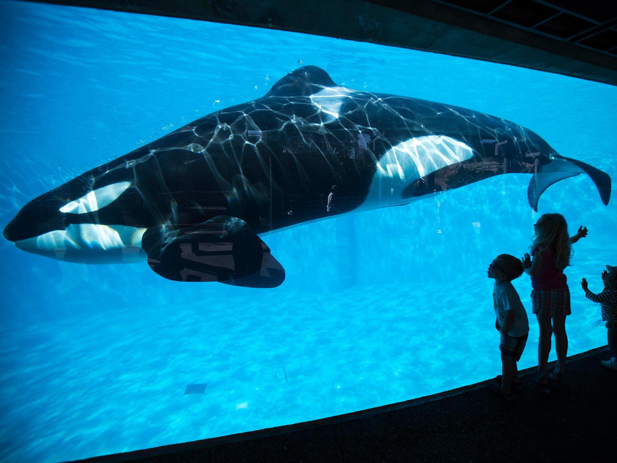 Res: 2048x1536, California bans SeaWorld's killer whale shows and breeding program | The  Independent