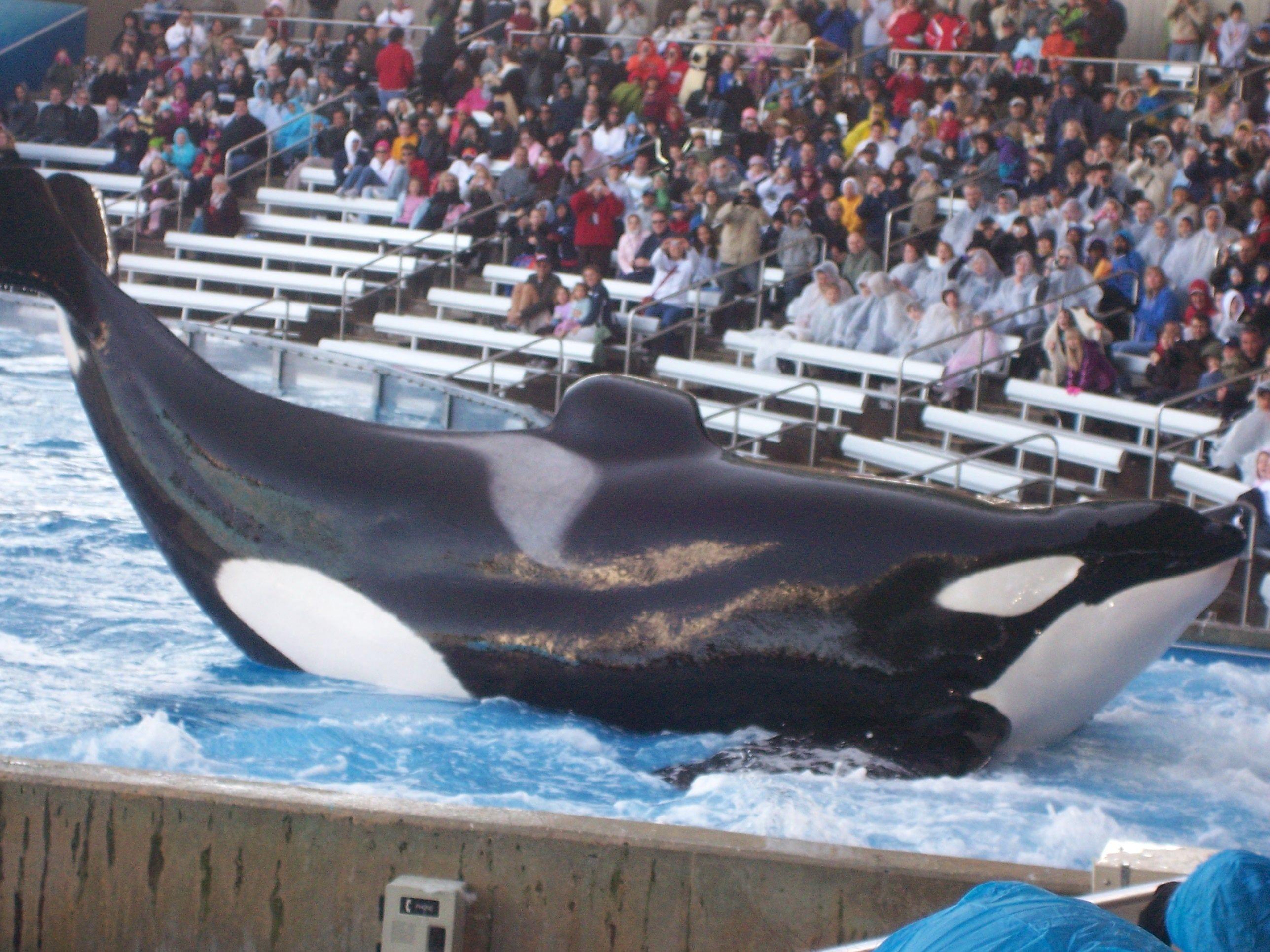 Res: 2576x1932, 19 best SeaWorld Shamu ♡ images on Pinterest | Killer whales, Orcas and  Seaworld orlando