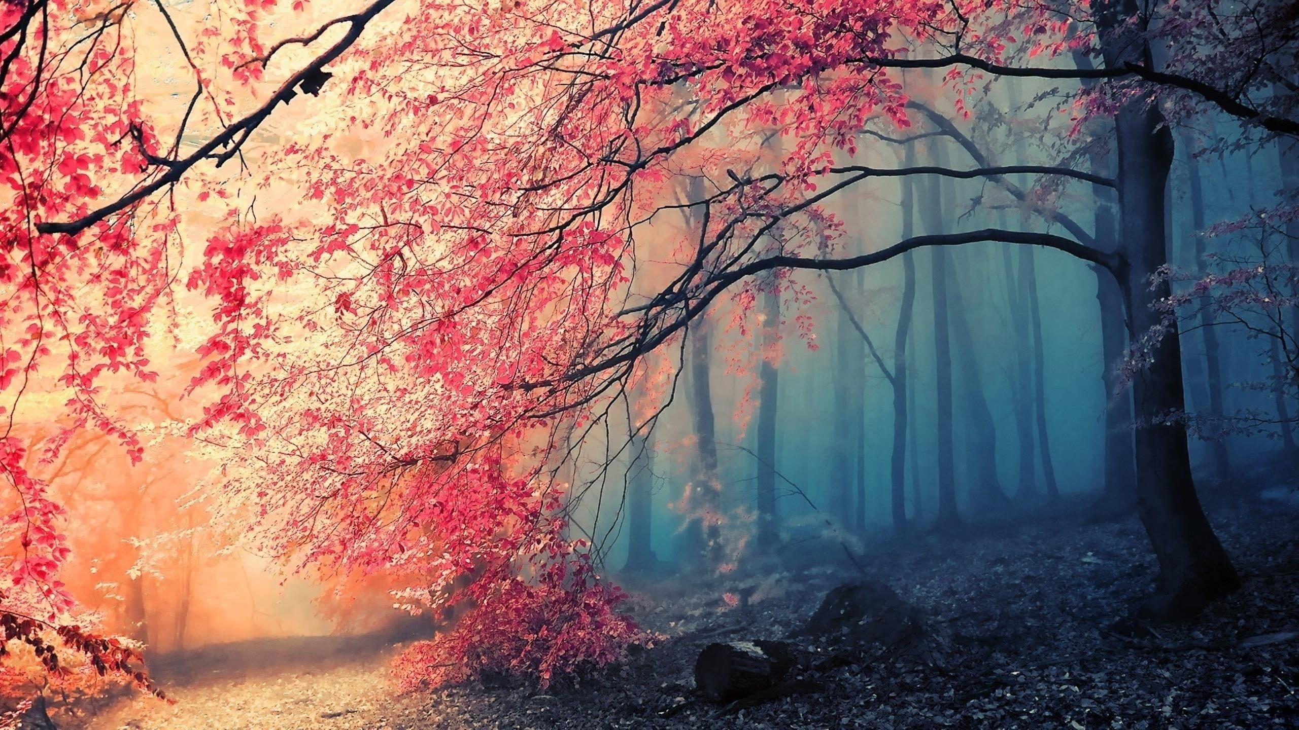 Res: 2560x1440, sakura tree HD wallpaper
