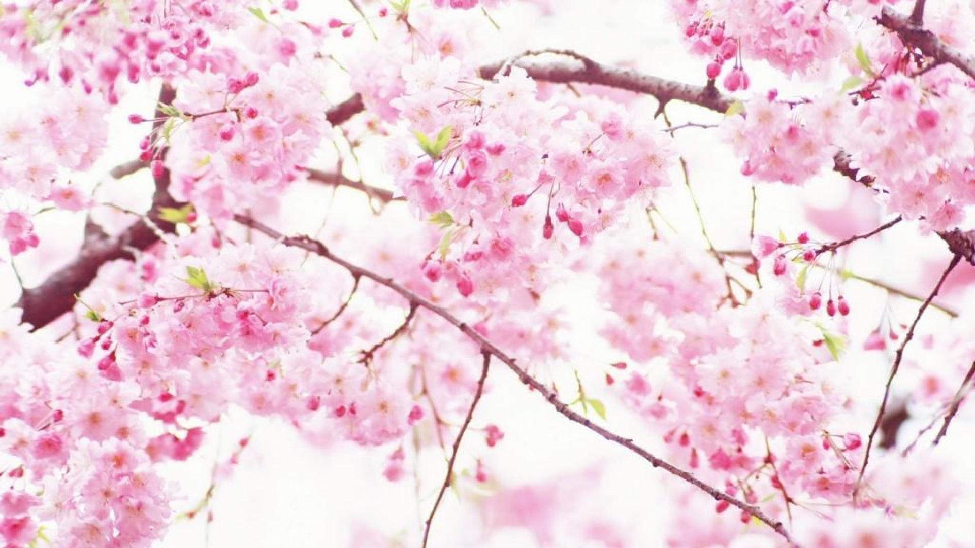 Res: 1920x1080, Cherry Blossom Wallpaper HD   PixelsTalk Net