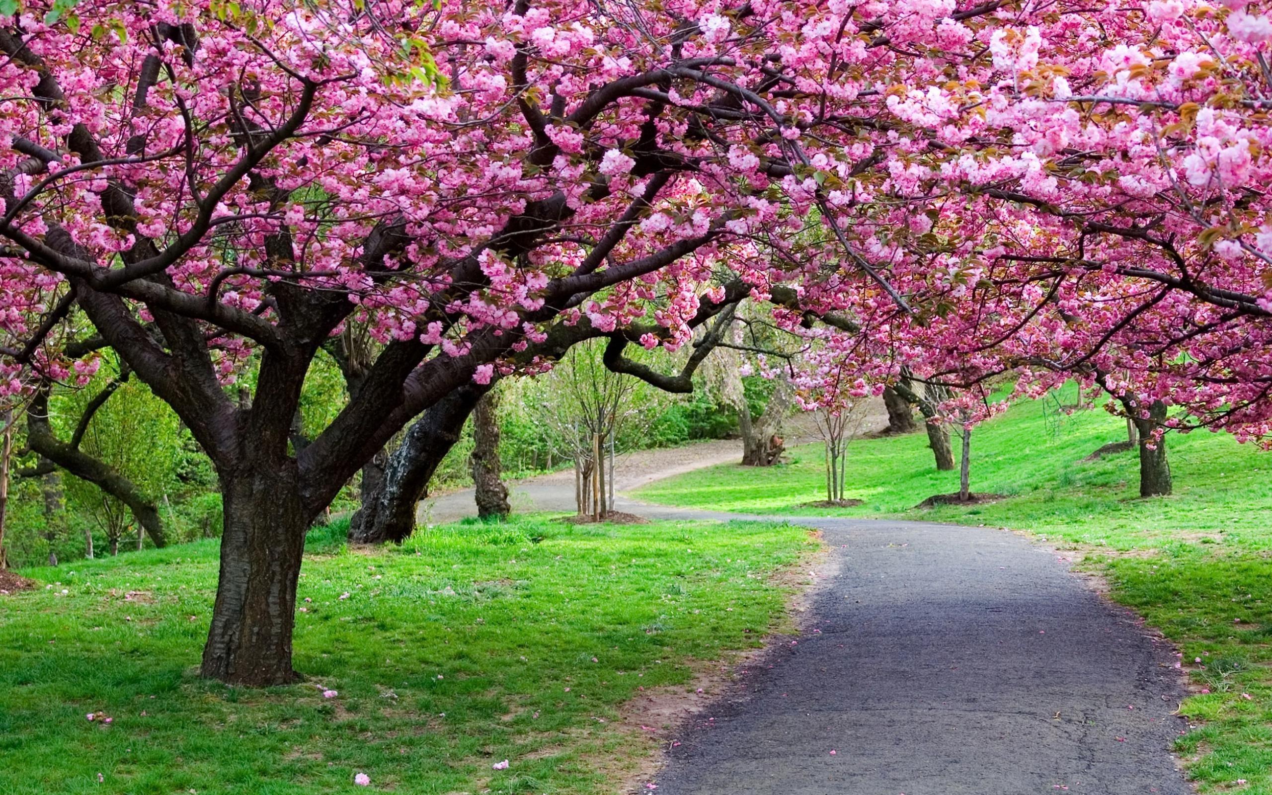 Res: 2560x1600, ... Colorful Sakura Photos FHDQ for Laptop ...