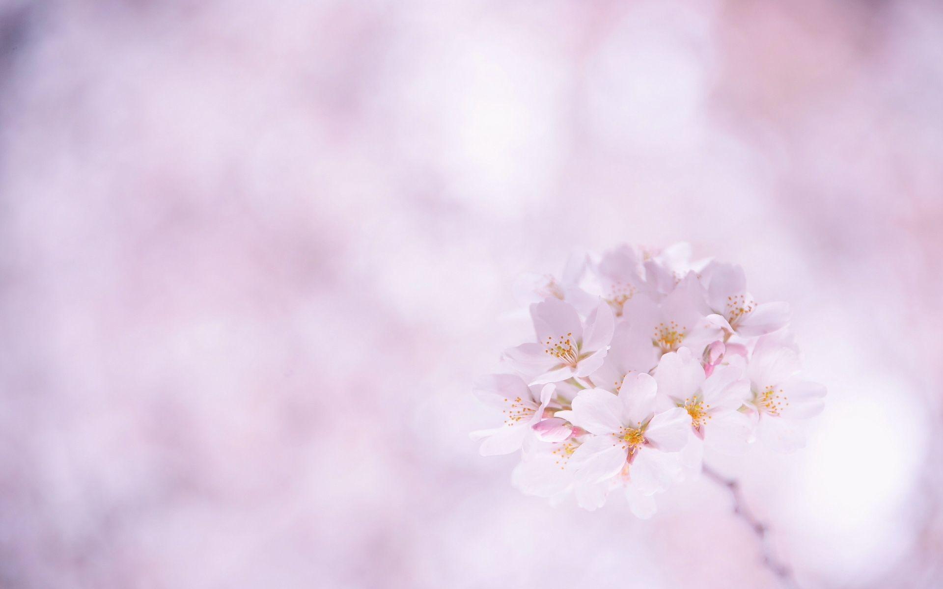 Res: 1920x1200, Sakura Cherry Blossom HD desktop wallpaper High Definition ... - HD  Wallpapers
