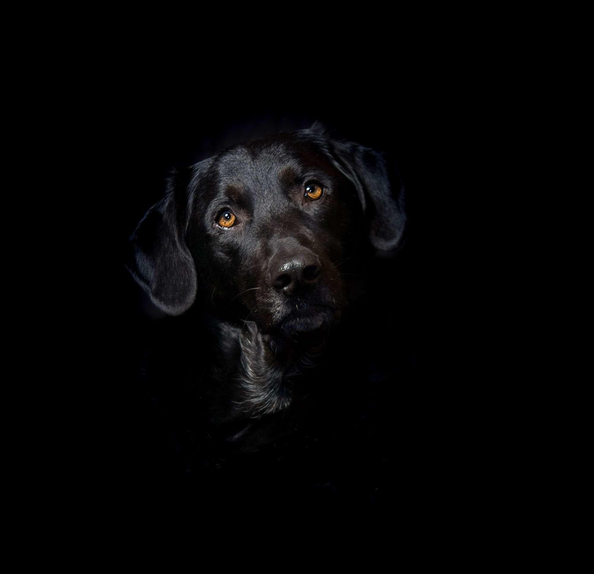 Res: 2000x1932, ... ears, eyes, fur, good, greedy, head, hybrid, labrador, labrador  mongrel, love, mix, nose, pet, portait, pride, protector, snout wallpaper  and background