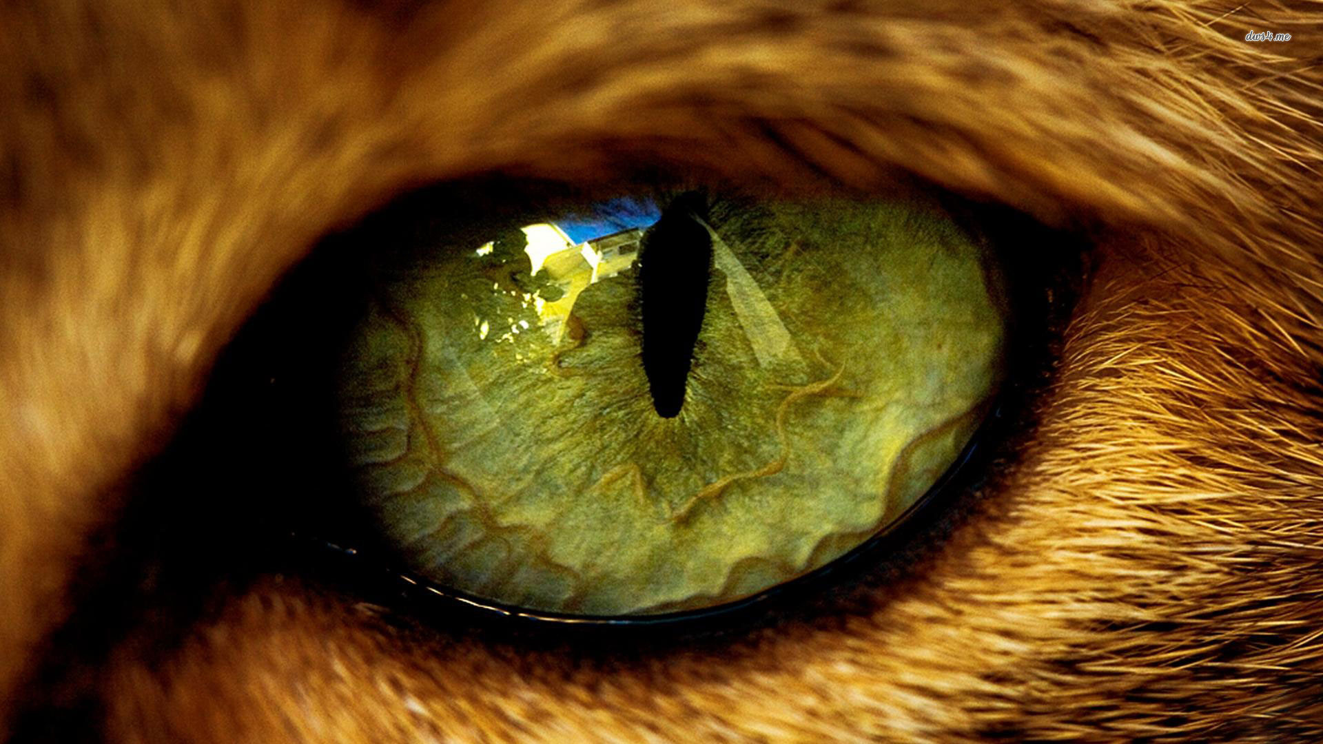 Res: 1920x1080, eye cat the beast animals wool pupil reflection HD wallpaper