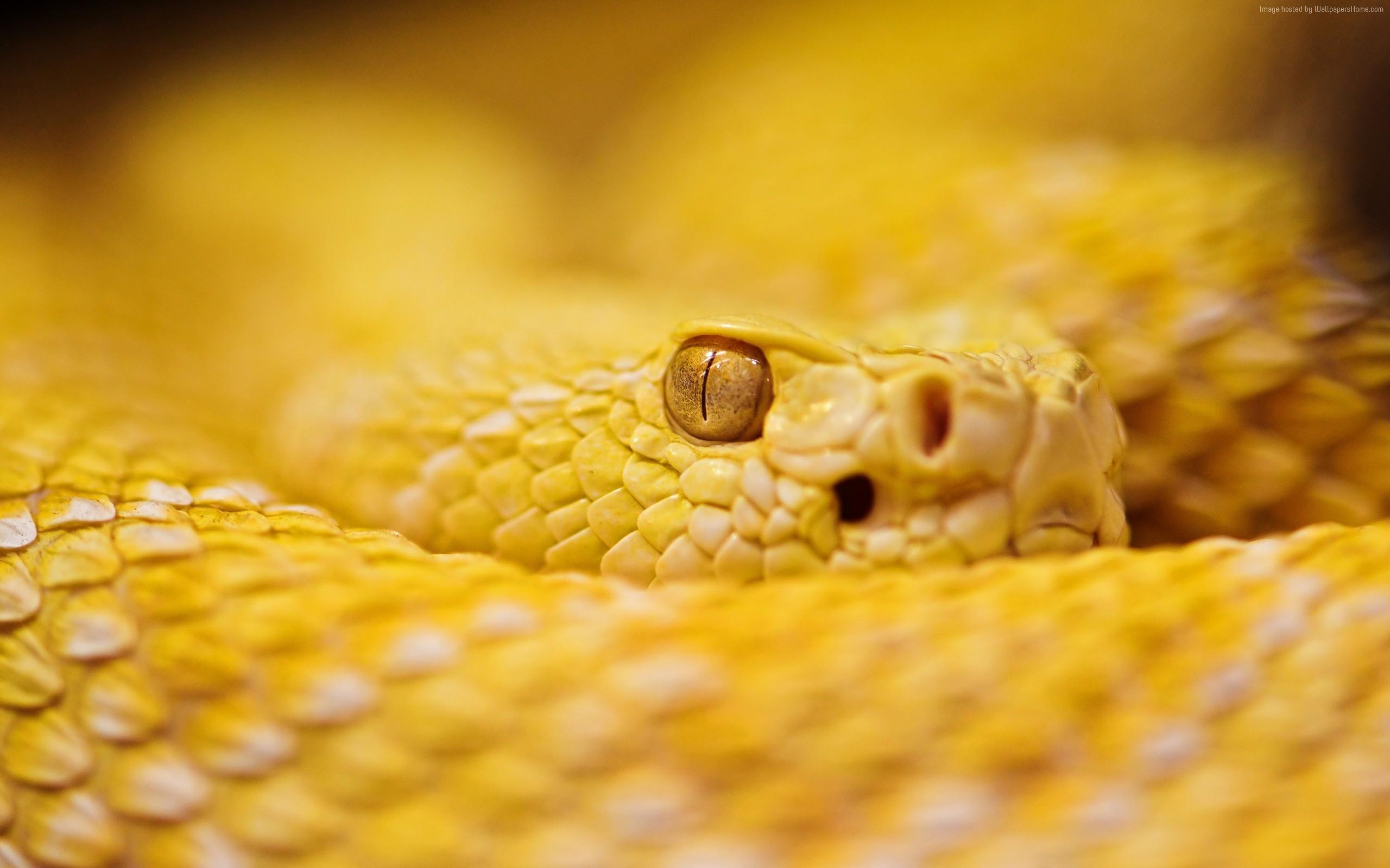 Res: 2560x1600, Wallpaper Snake, 4k, HD wallpaper, albino, rattlesnake, yellow, Eyes,  reptiles, OS #1028. Taking an 4k images, freezing a moment,
