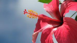 Hibiscus wallpapers