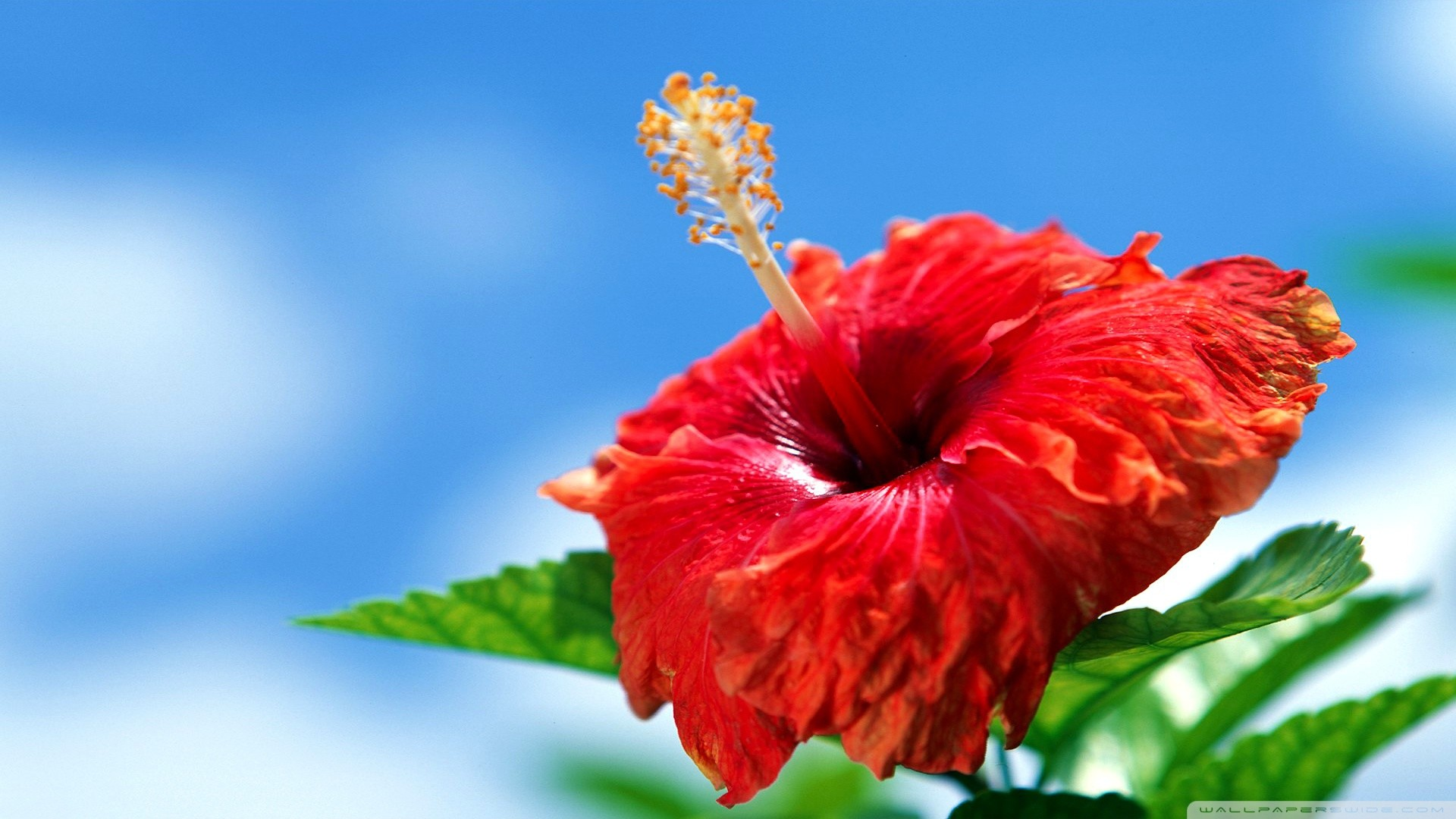 Res: 1920x1080, Hibiscus Wallpapers 8 - 1920 X 1080
