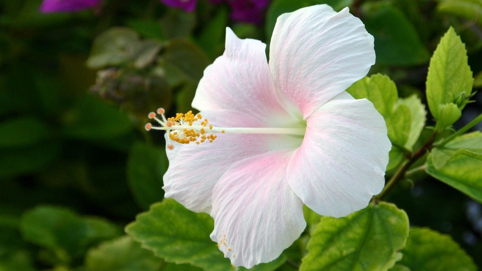 Res: 1920x1080, Hibiscus Flower