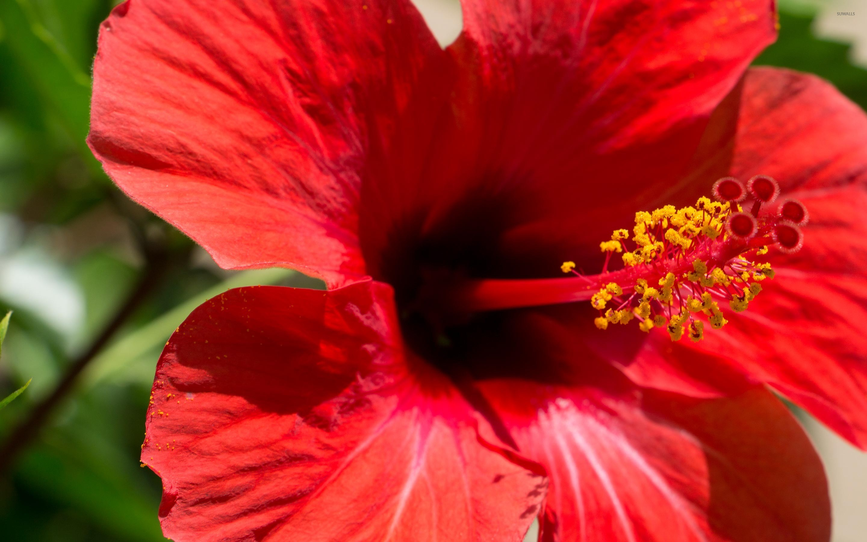 Res: 2880x1800, Red Hibiscus blossom close-up wallpaper