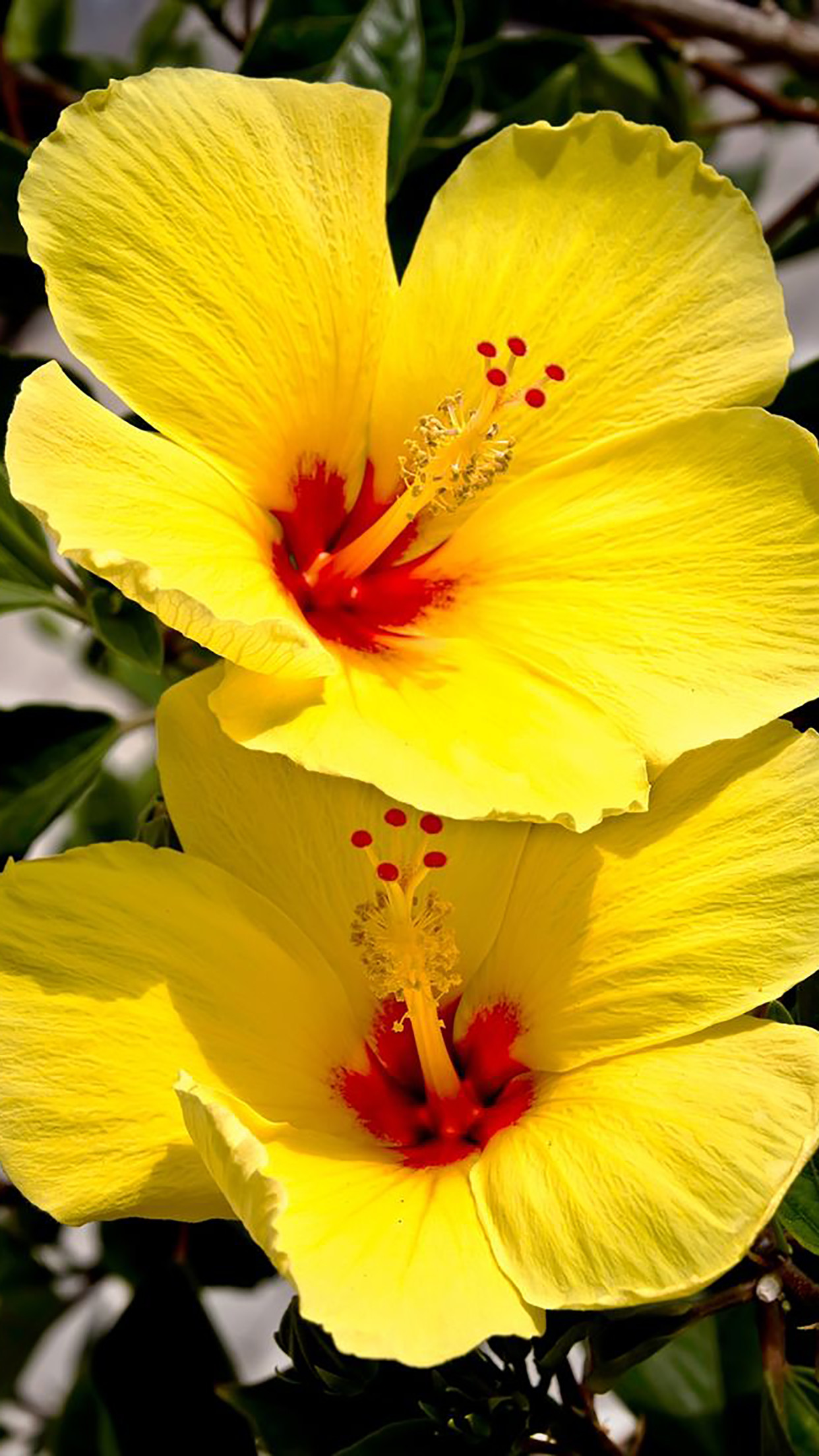 Res: 1242x2208, Hibiscus Yellow 3Wallpapers iPhone Parallax Hibiscus : Yellow