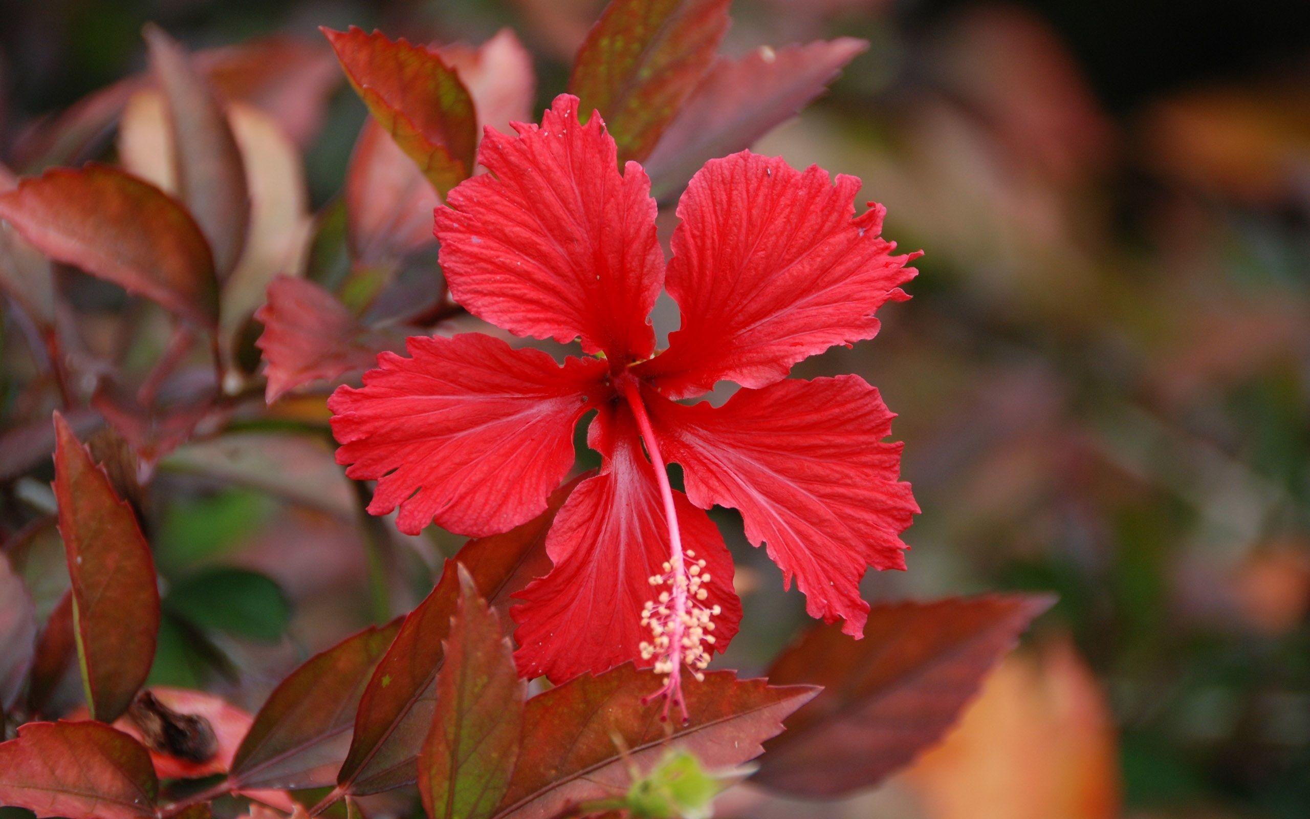 Res: 2560x1600, hibiscus ...