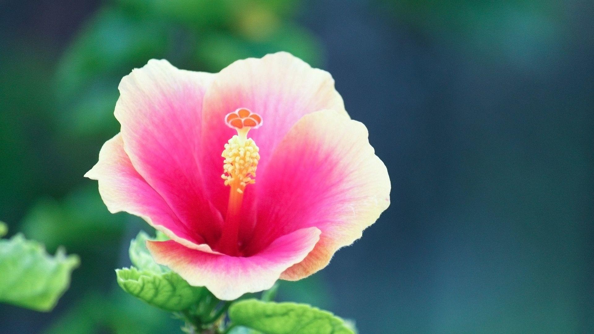Res: 1920x1080, 8. hibiscus-flower-wallpaper8-2-600x338