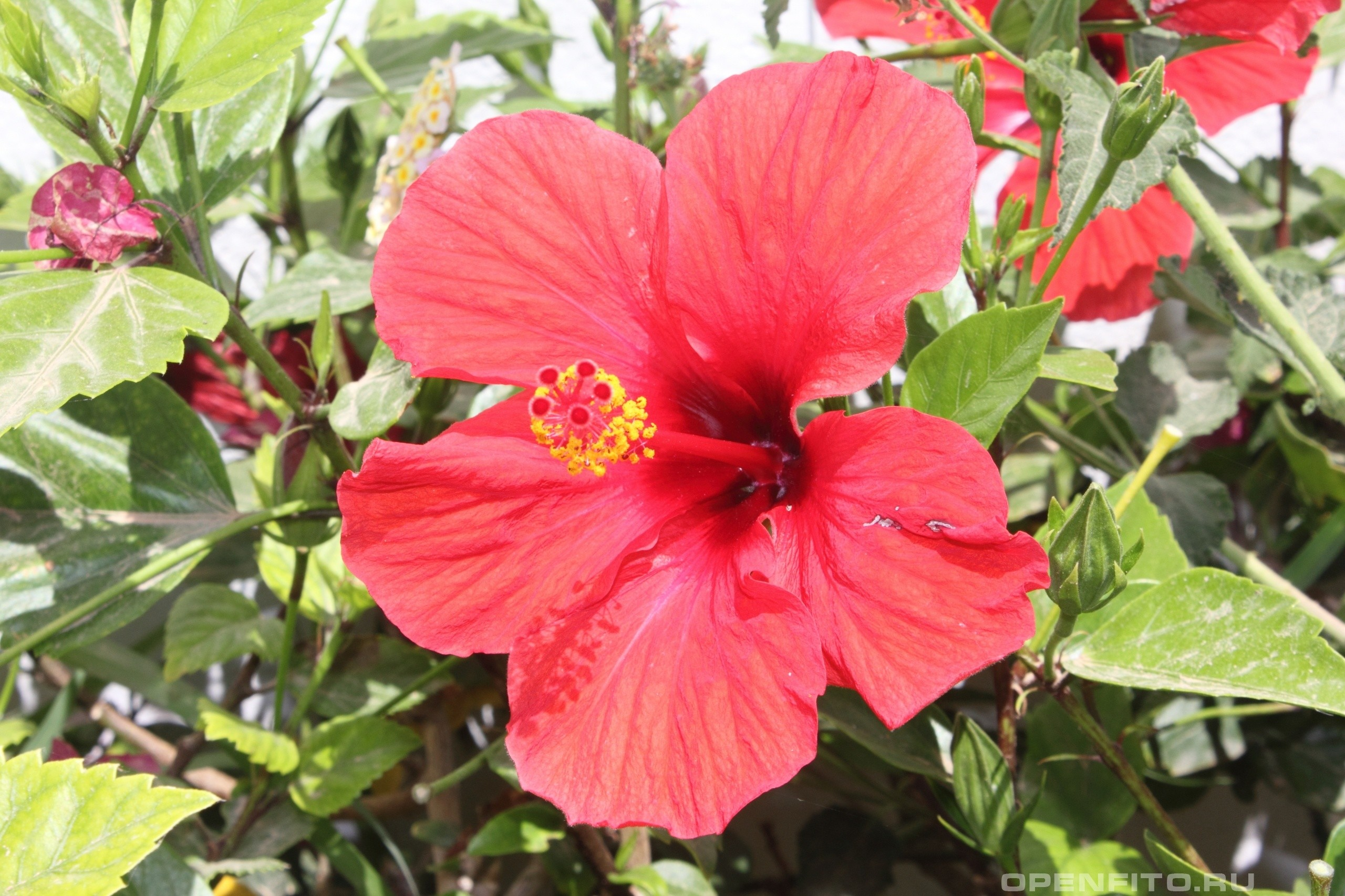 Res: 2560x1706, Best images of Hibiscus Hibiscus 1080p wallpapers ...