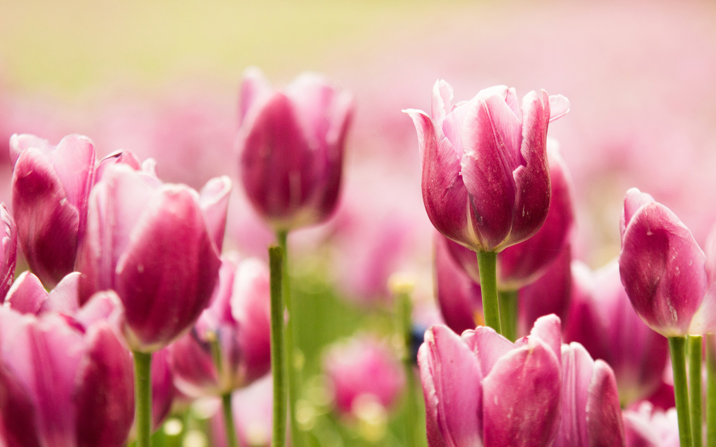 Res: 2880x1800, Tags: Beautiful Pink Tulips