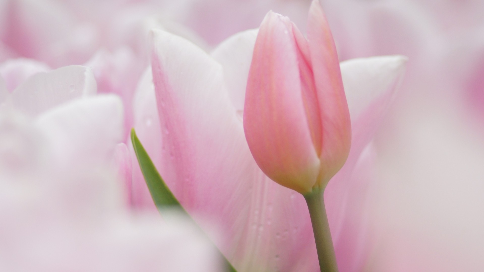 Res: 1920x1080, Download Pink tulips wallpaper