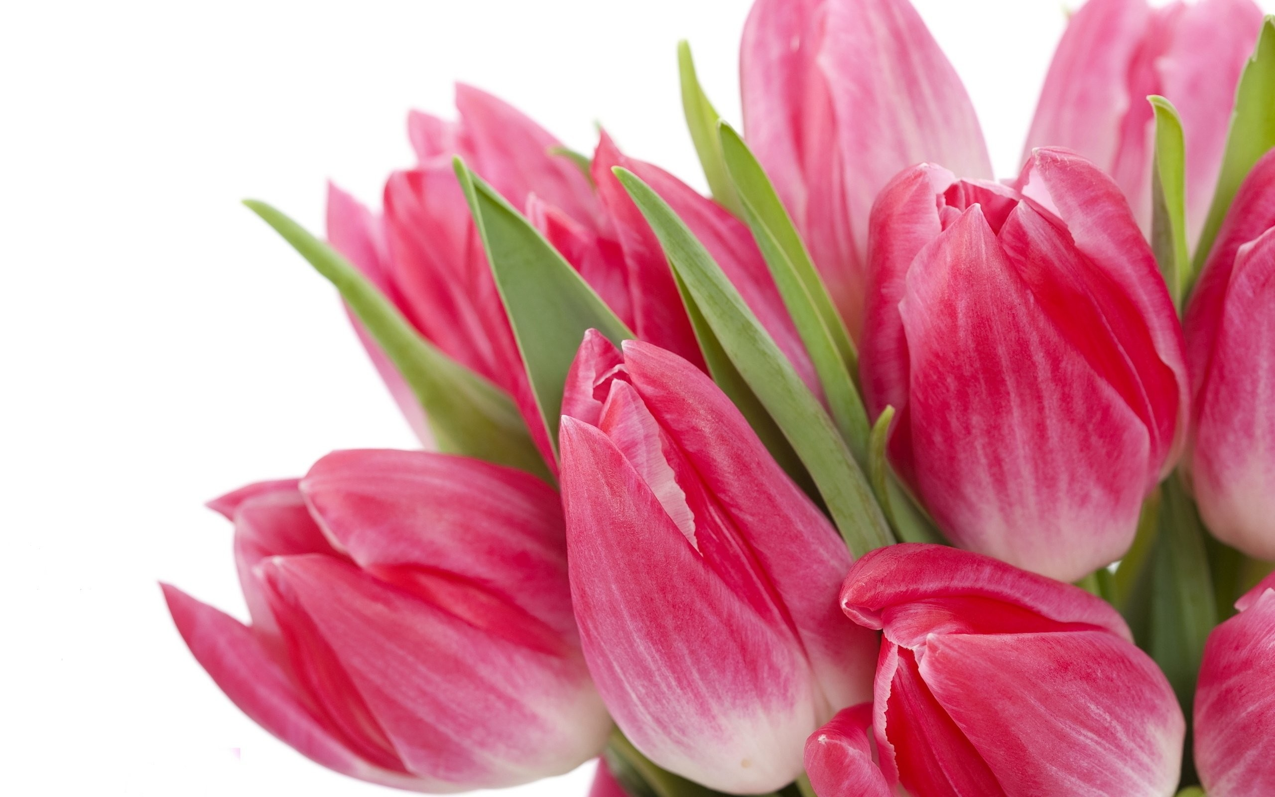 Res: 2560x1600, Beautiful Pink Tulips