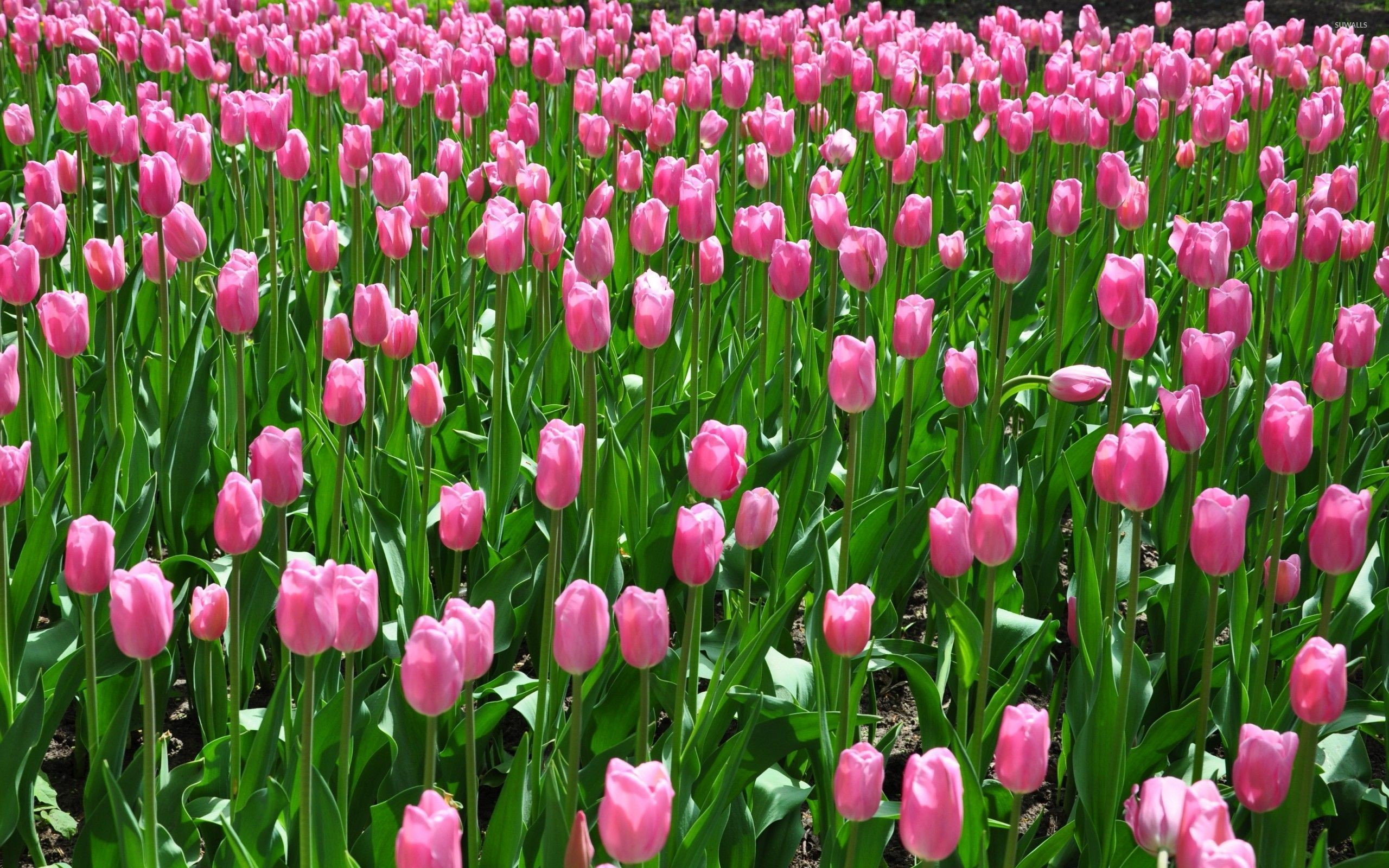 Res: 2560x1600, Pink tulips on the field wallpaper