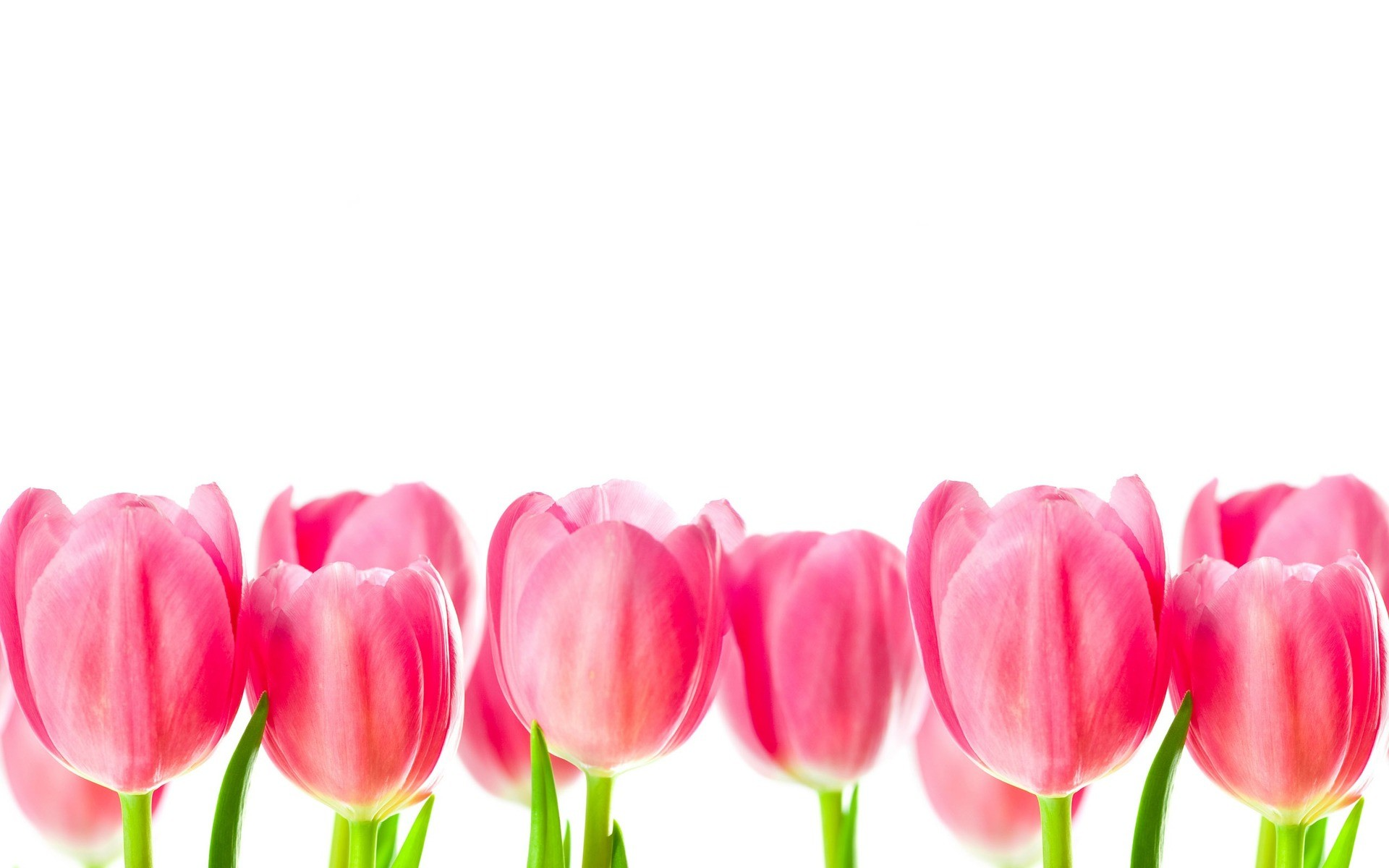 Res: 1920x1200, Pink Tulips Images