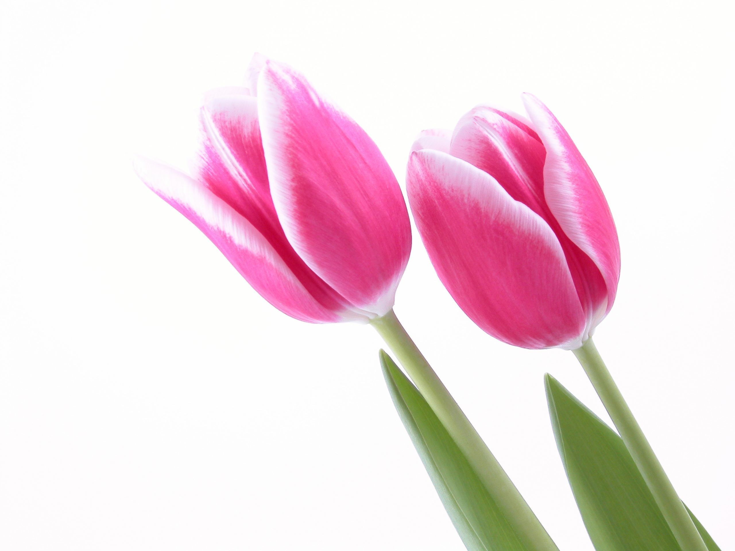 Res: 2560x1920, pink tulips HD Wallpaper