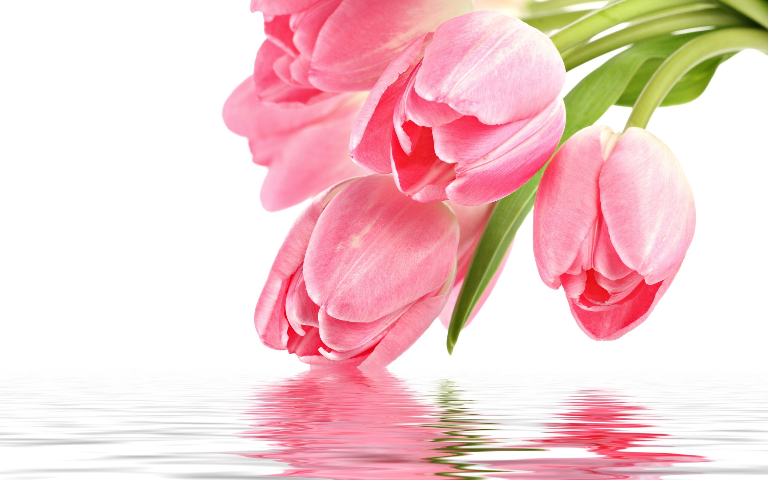 Res: 2560x1600, pink tulips touch of water images download
