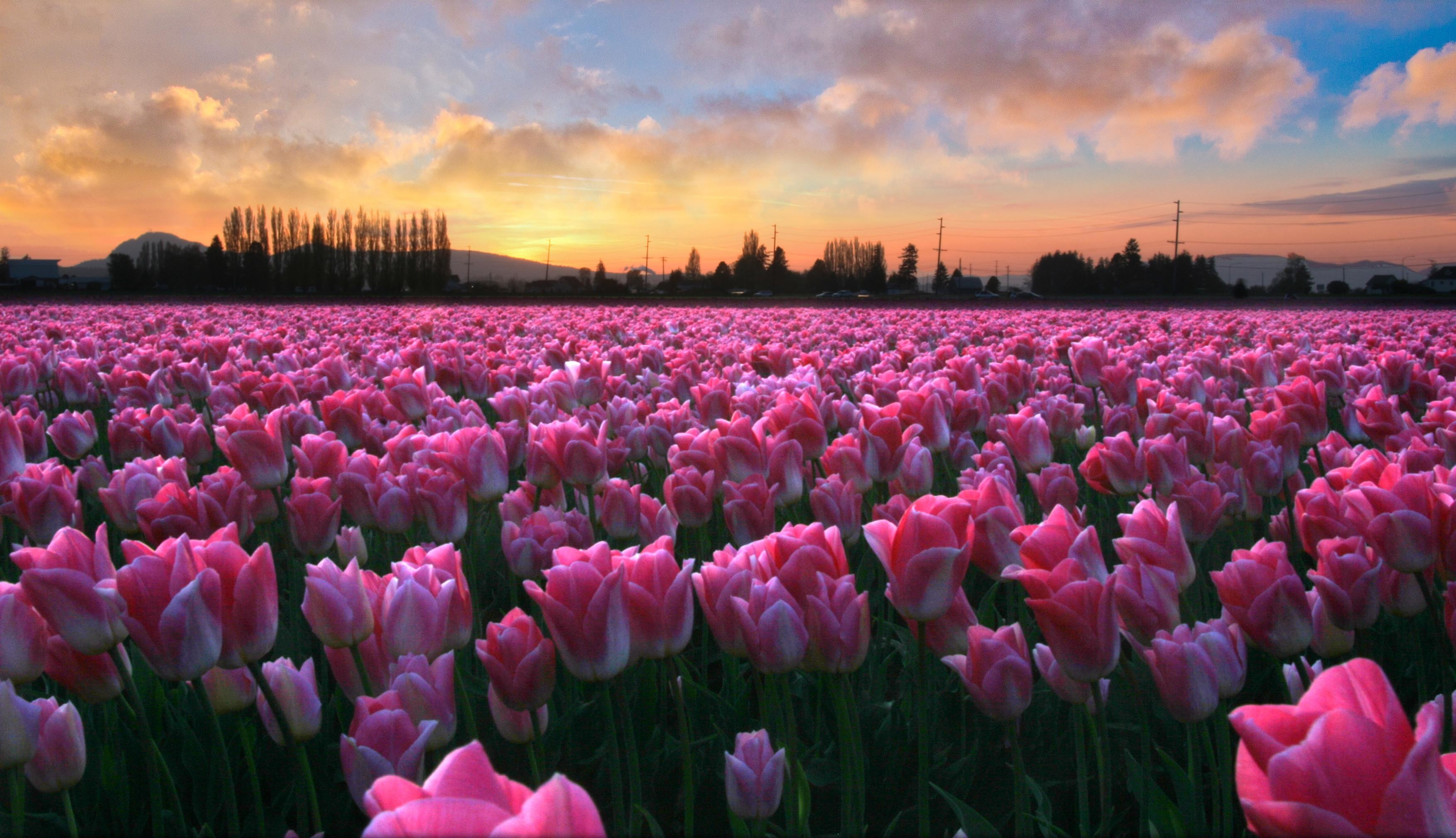Res: 3506x2020, Pink Tulips | Download HD Wallpapers Photos