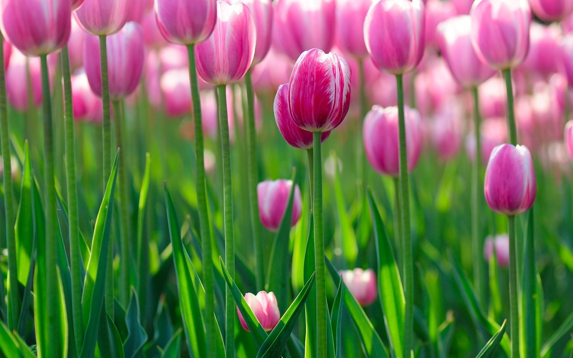 Res: 1920x1200, Pink Tulips Leaves Spring Wallpaper