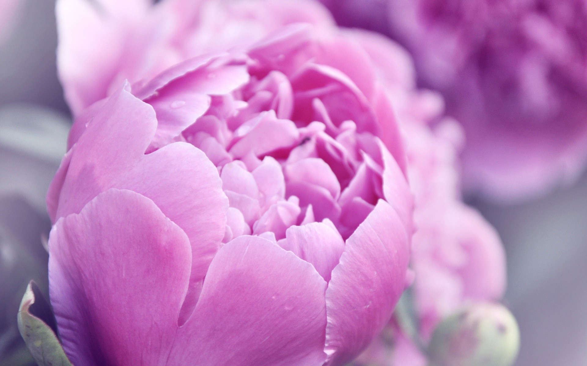 Res: 1920x1200, pink-tulip-flower-beautiful-blur-background-wallpapers