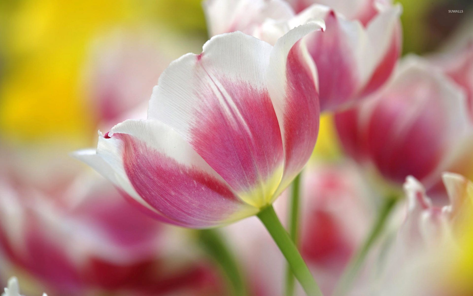 Res: 1920x1200, Pink and white tulips wallpaper