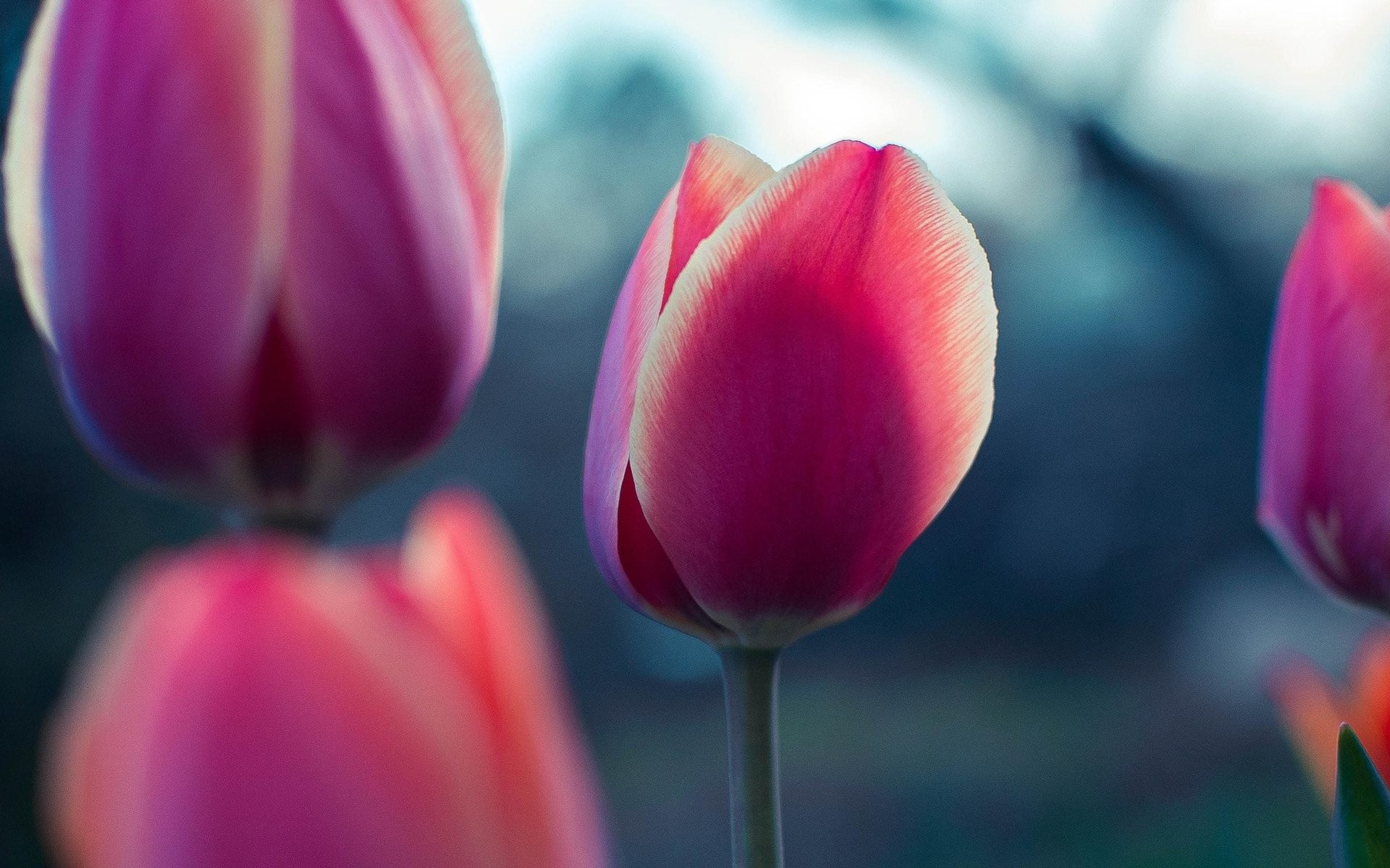Res: 1920x1200, Widescreen Pink Tulip Flower Wallpaper : Flower Wallpaper for Phone &  Desktop Backgrounds Collections