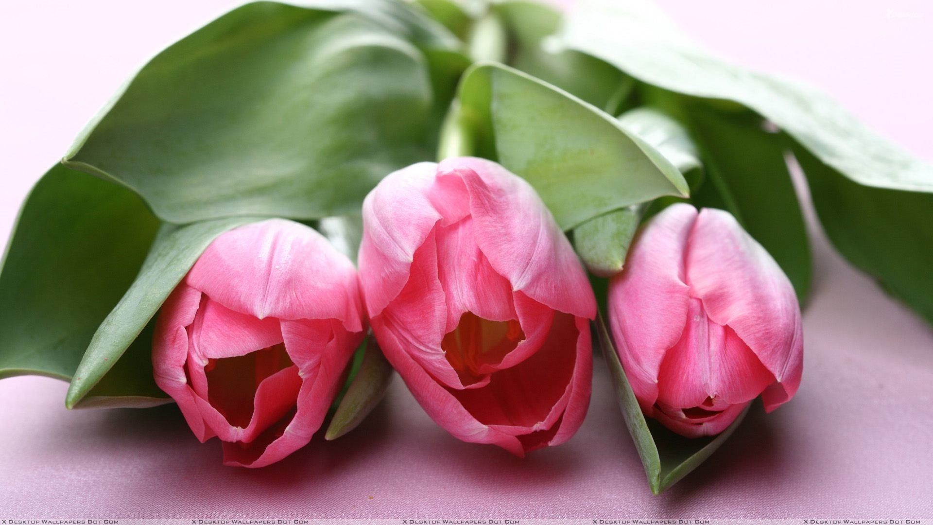 "Res: 1920x1080, You are viewing wallpaper titled ""Three Pink Tulips ..."