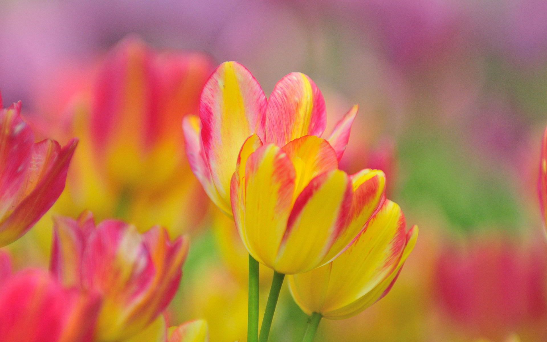 Res: 1920x1200, Yellow And Pink Tulips Wallpaper