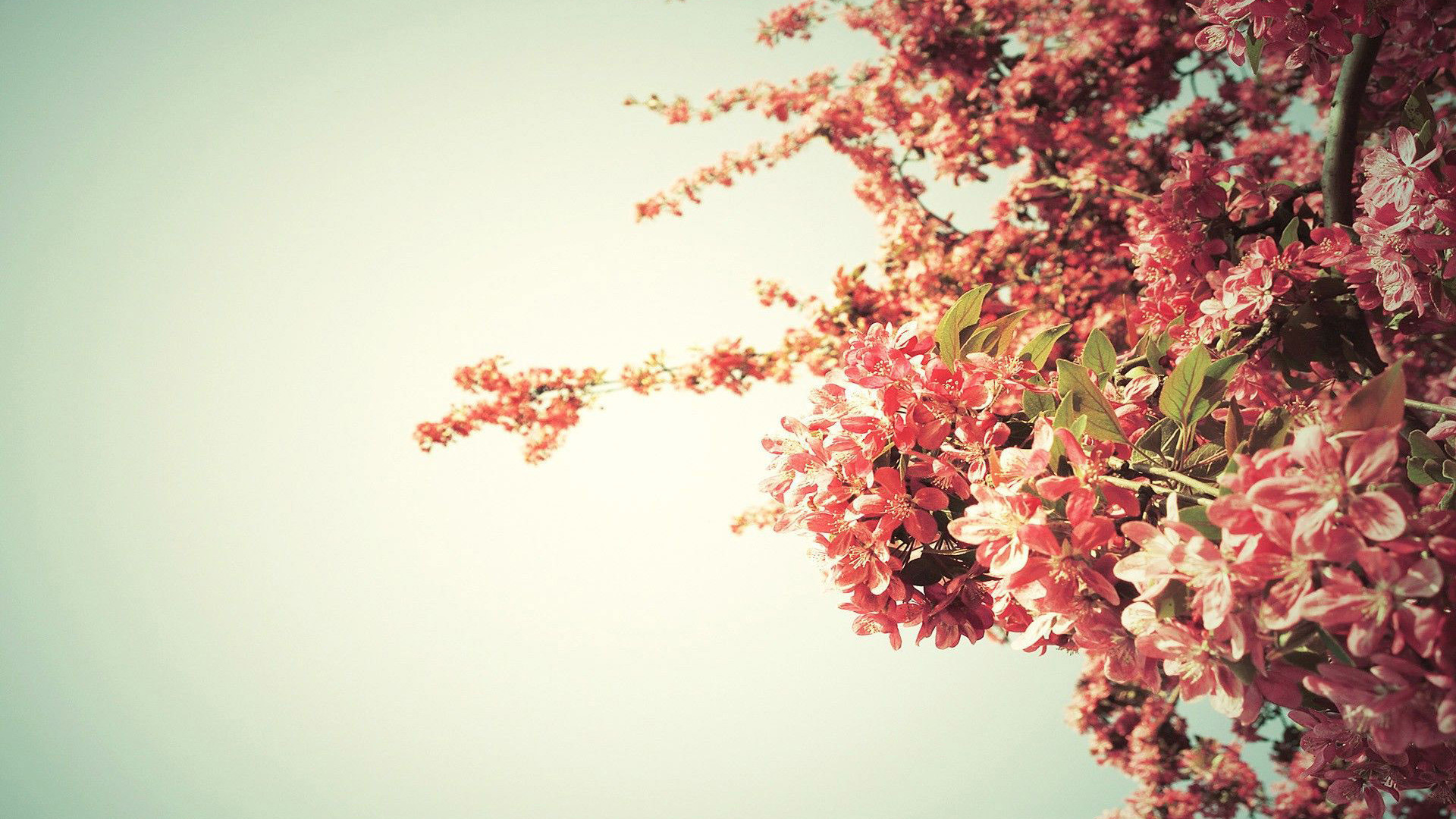 Res: 1920x1080, Spring tree blossoms Wallpaper