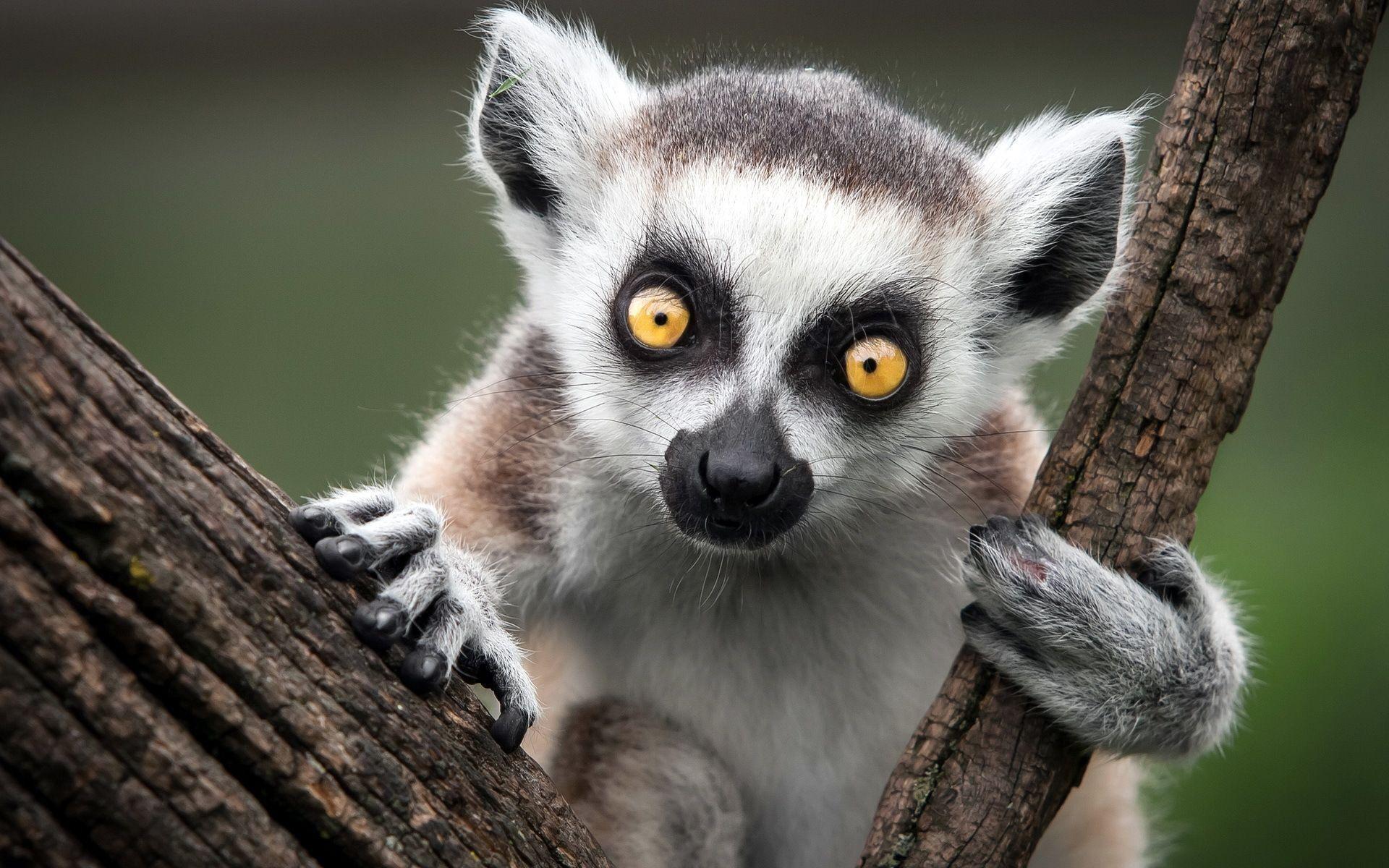 Res: 1920x1200, Lemur Desktop Wallpaper | Lemur Pictures | Cool Wallpapers