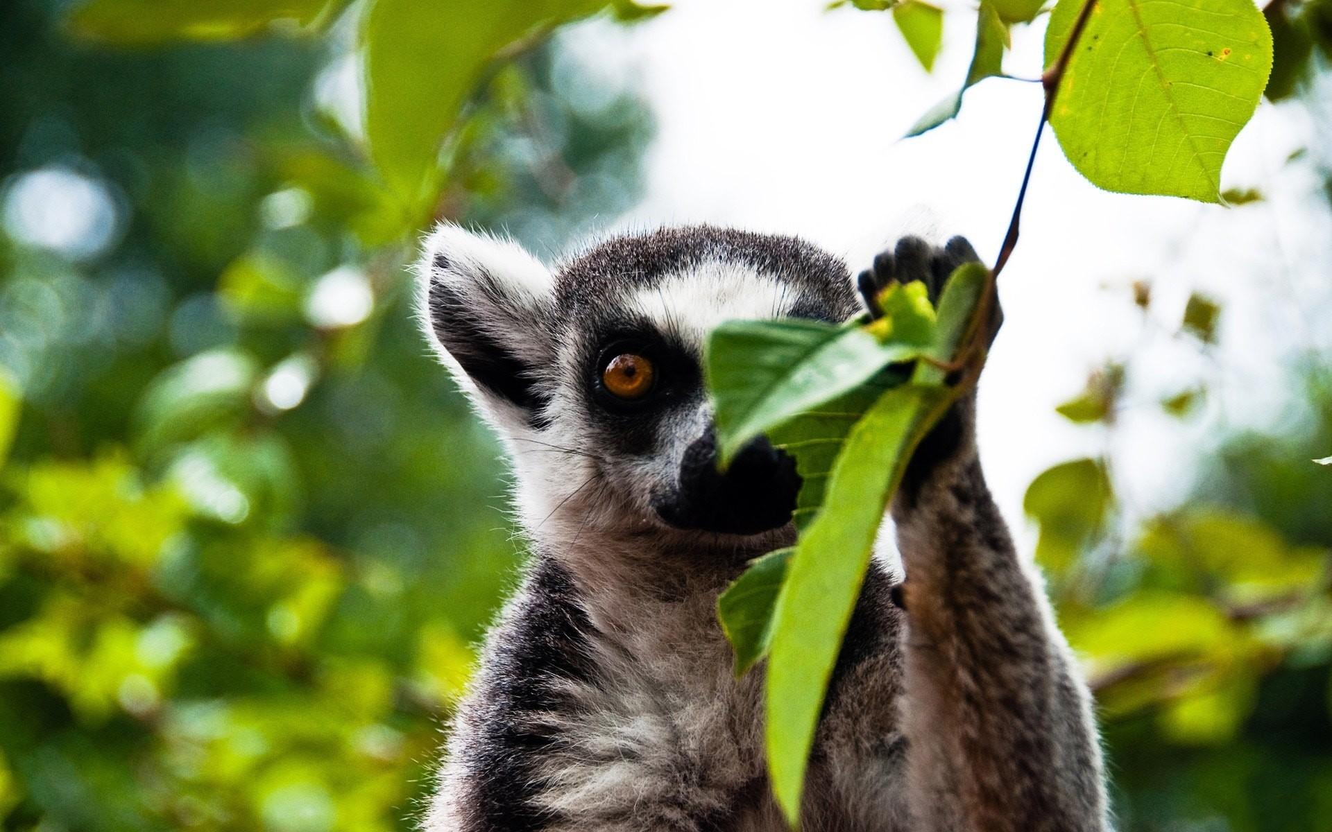 Res: 1920x1200, Lemur Wallpapers Lemur Wallpapers hd