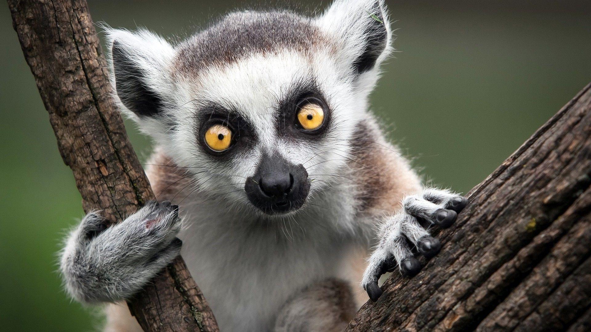 Res: 1920x1080, Lemur Wallpapers 5 - 1920 X 1080
