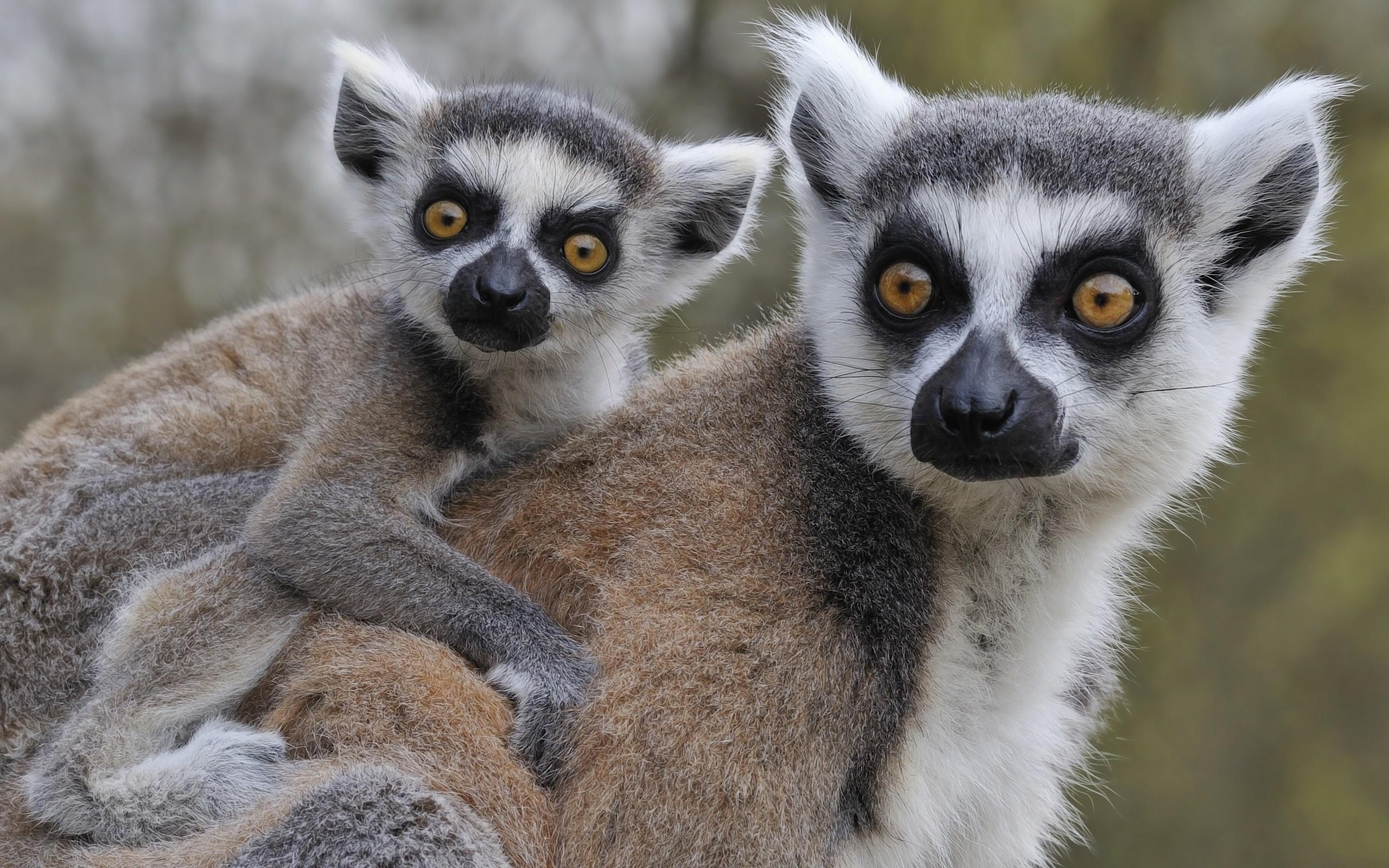 Res: 2560x1600, Animal - Lemur Animal Love Baby Animal Adorable Wallpaper