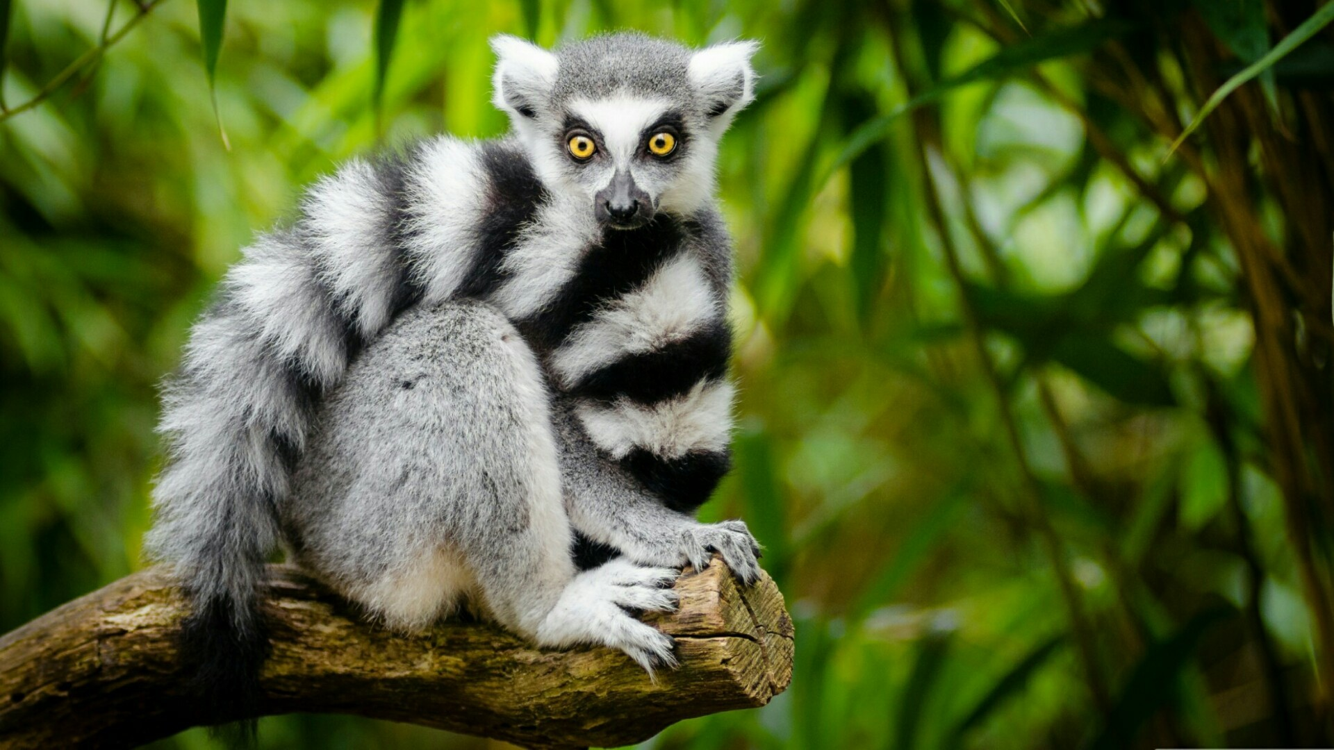Res: 1920x1080, Cute Ring-tailed Lemur Wallpaper | Wallpaper Studio 10 | Tens of thousands  HD and UltraHD wallpapers for Android, Windows and Xbox