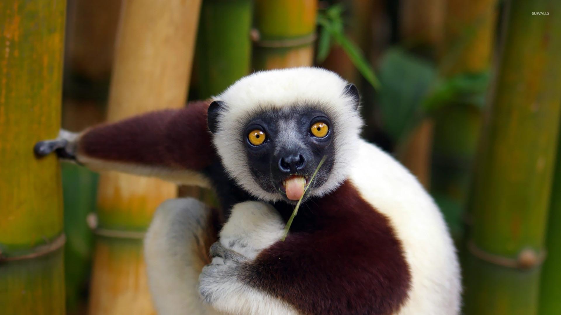 Res: 1920x1080, Lemur wallpaper