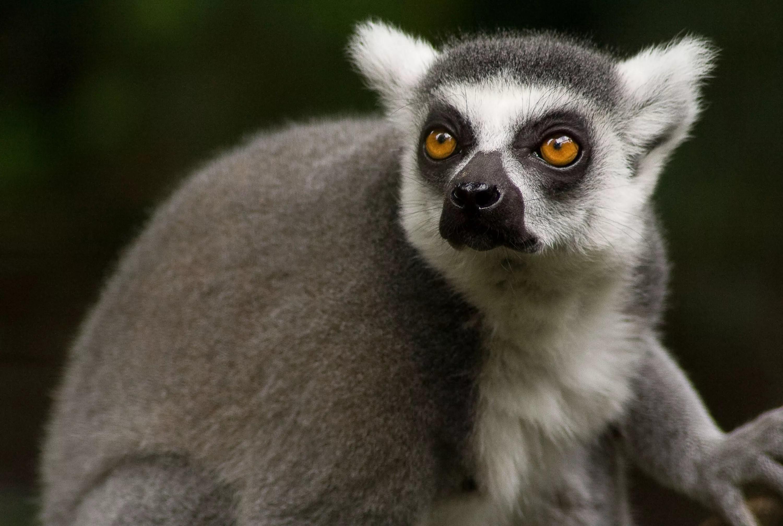 Res: 3000x2016, Lemur