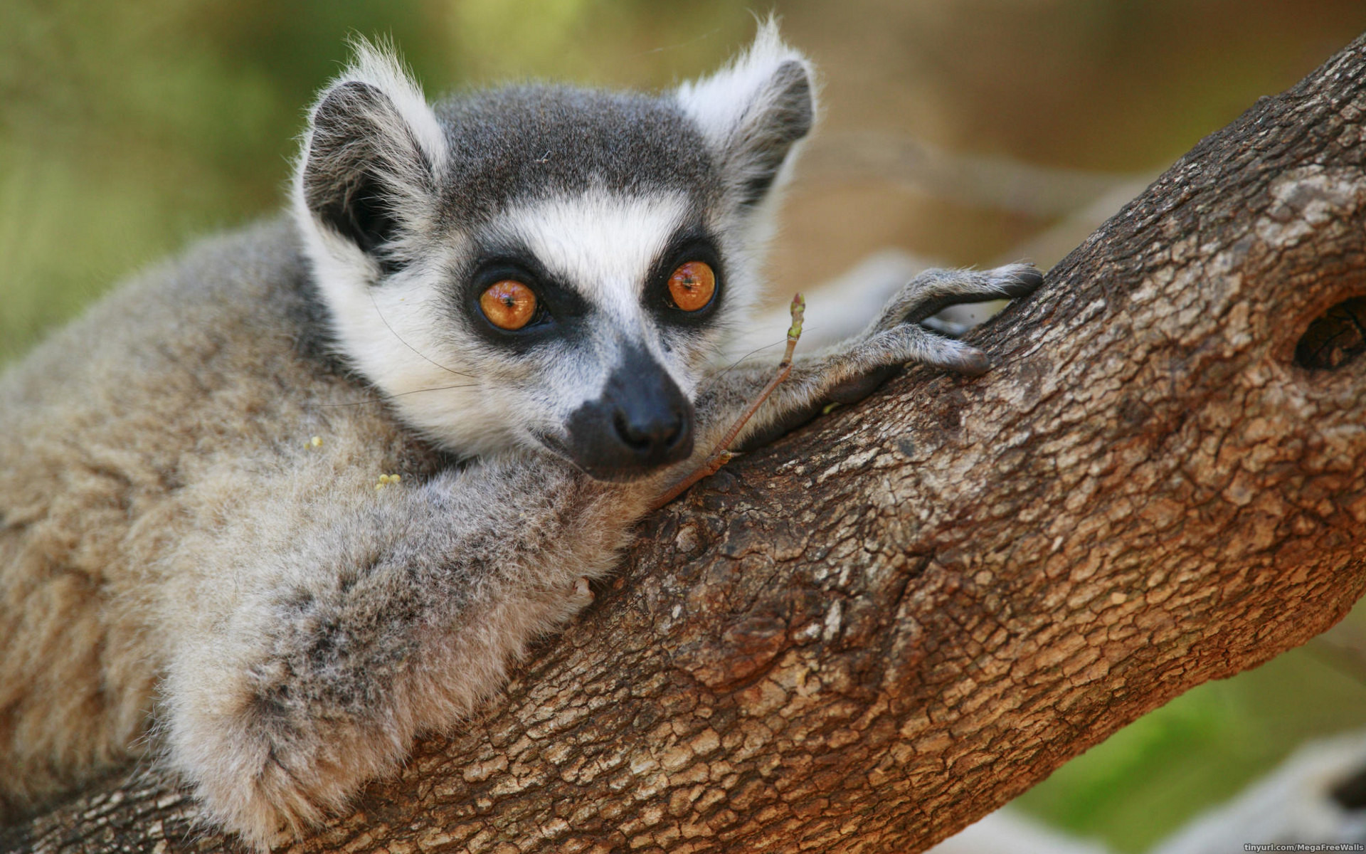 Res: 1920x1200, Animal - Lemur Wallpaper