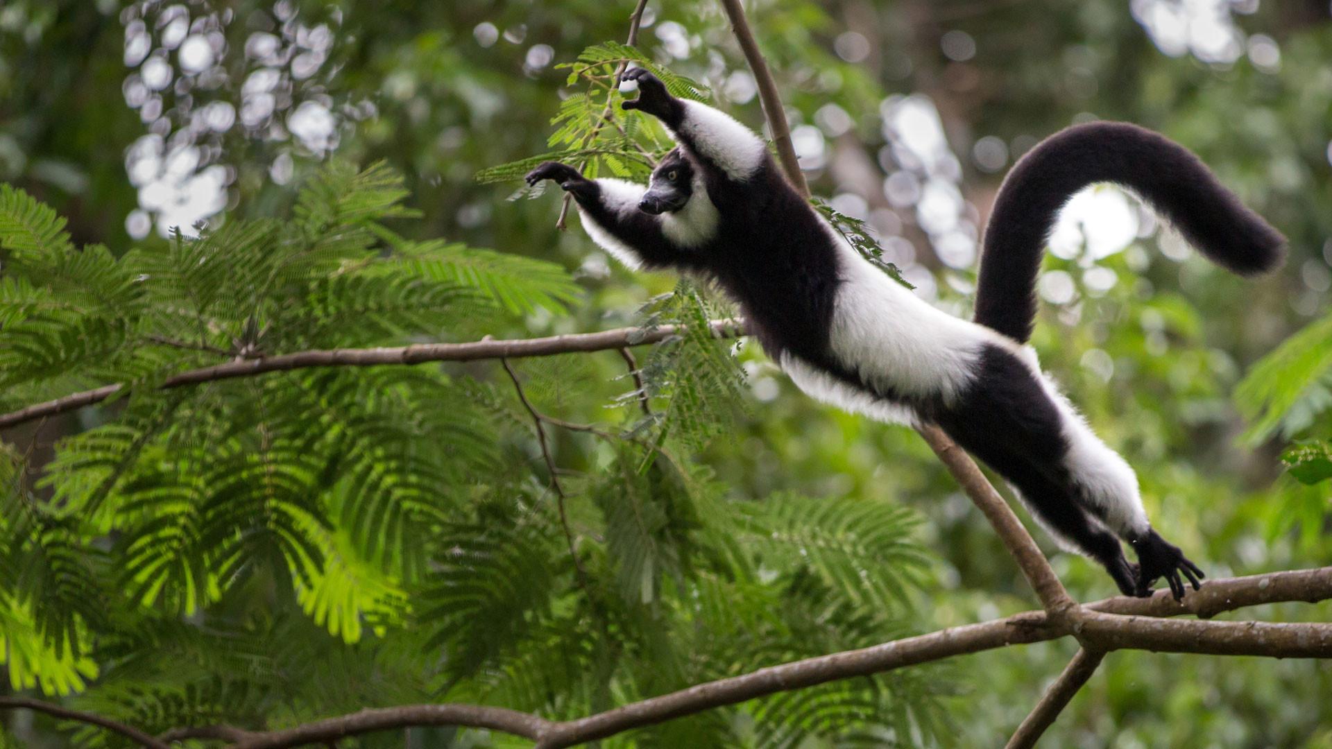 Res: 1920x1080, lemur images