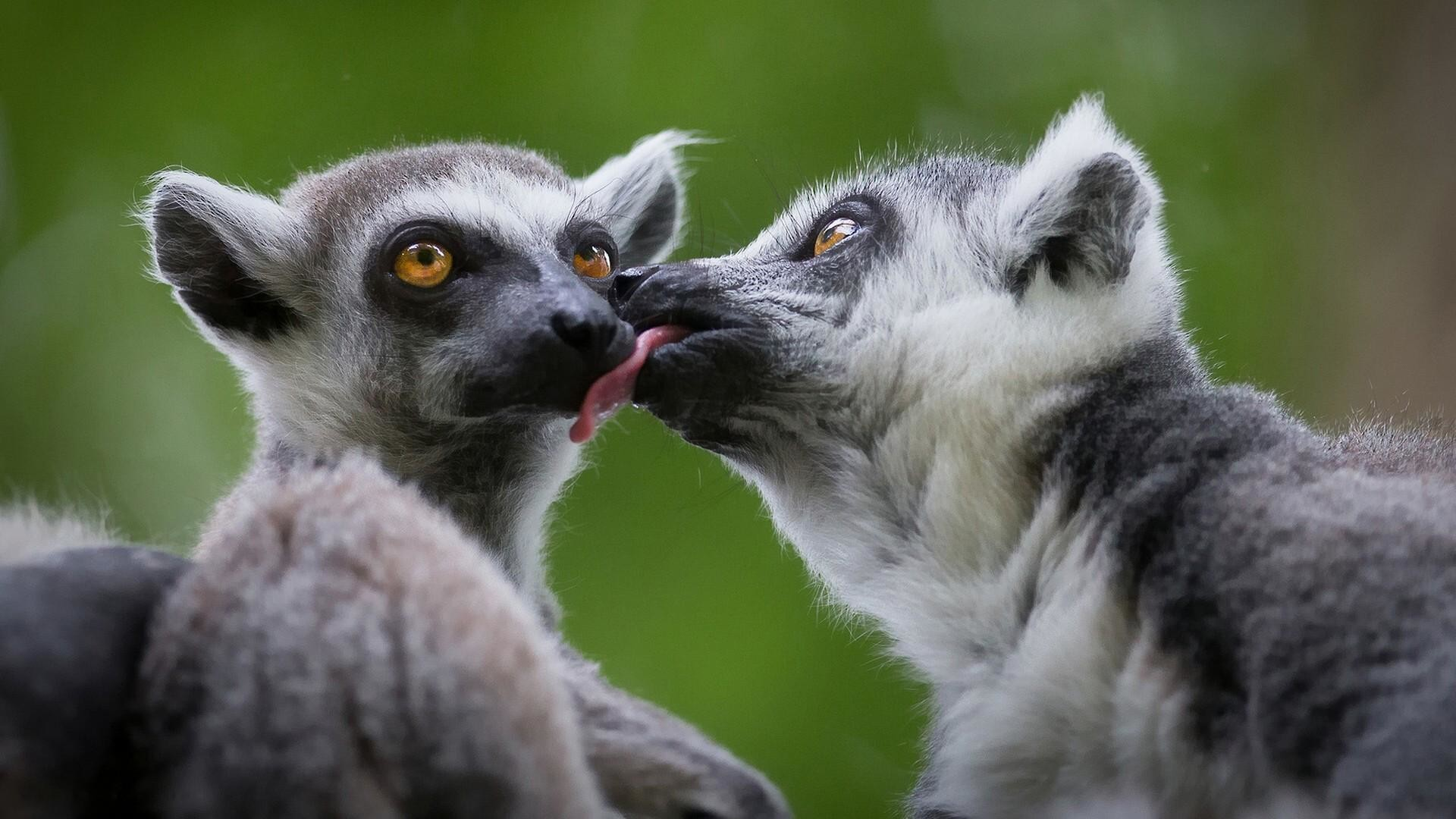 Res: 1920x1080, Cute Lemurs Kissing Wallpaper | Wallpaper Studio 10 | Tens of thousands HD  and UltraHD wallpapers for Android, Windows and Xbox