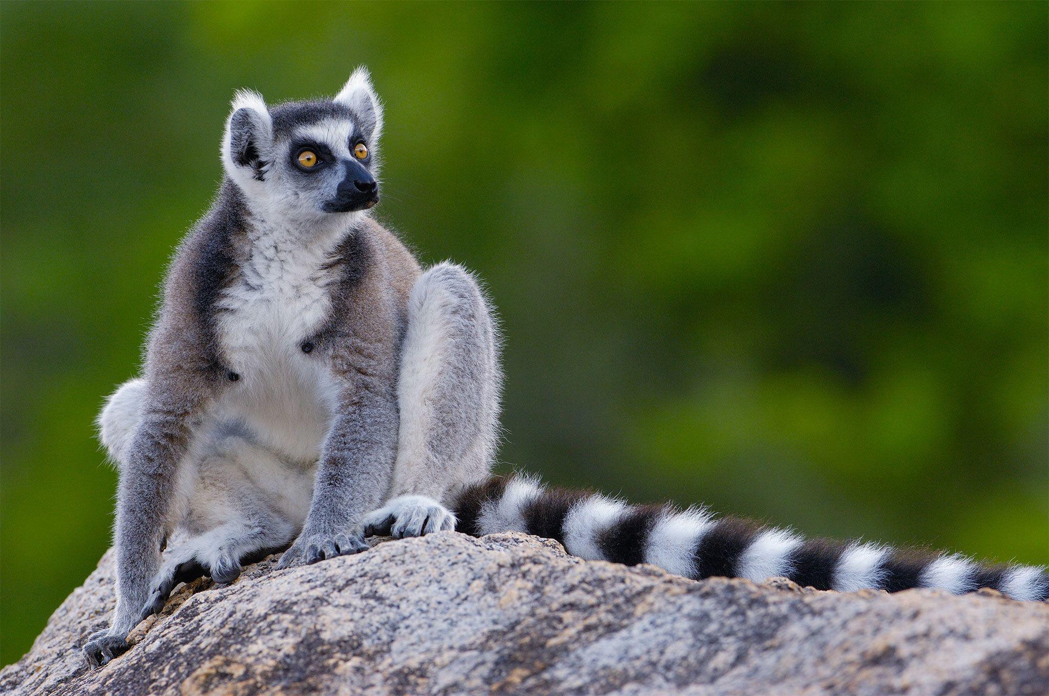 Res: 2048x1360, Lemur wallpapers, Animal, HQ Lemur pictures | 4K Wallpapers