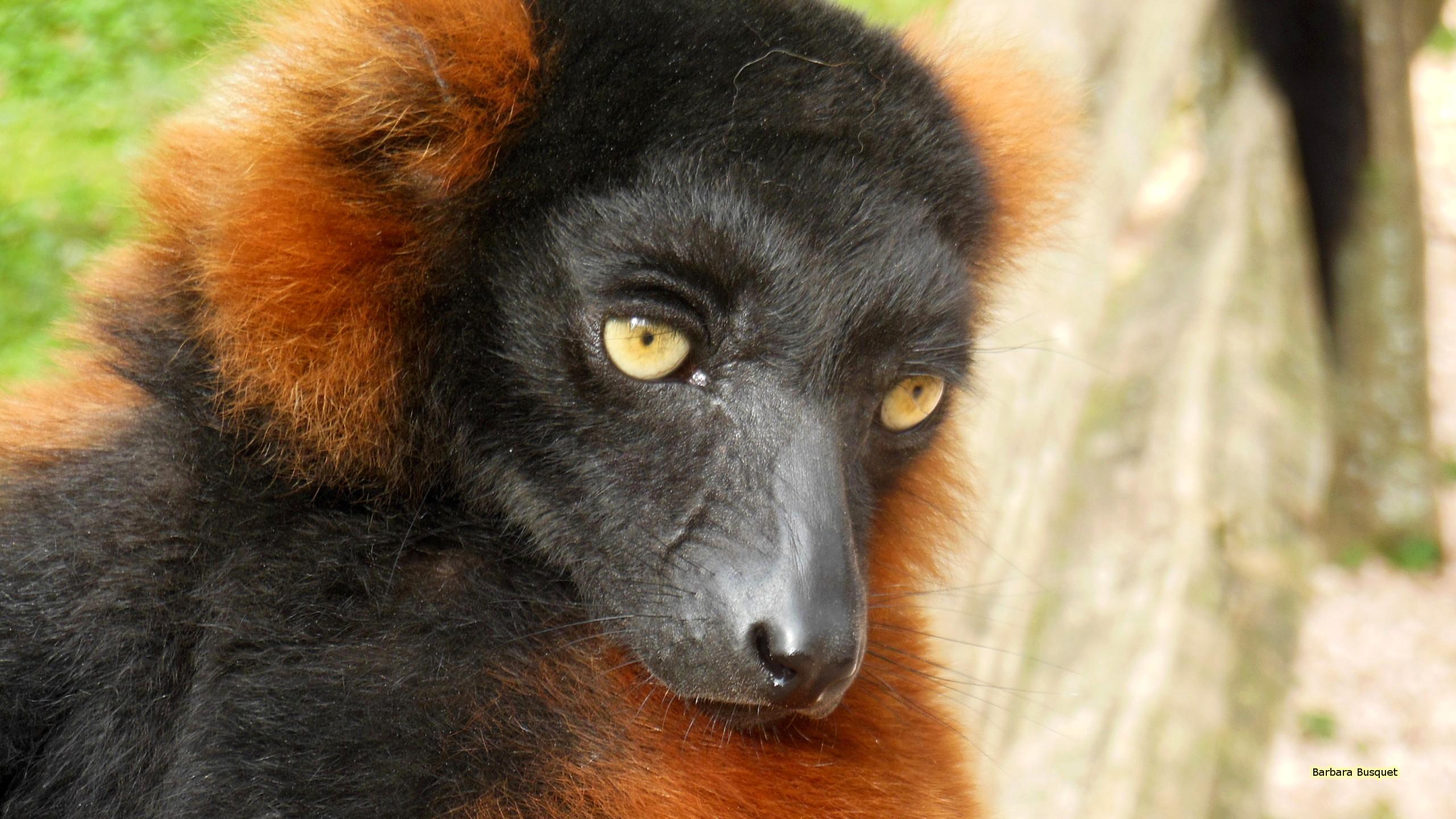 Res: 2560x1440, Lemur Wallpapers 19 - 2560 X 1440