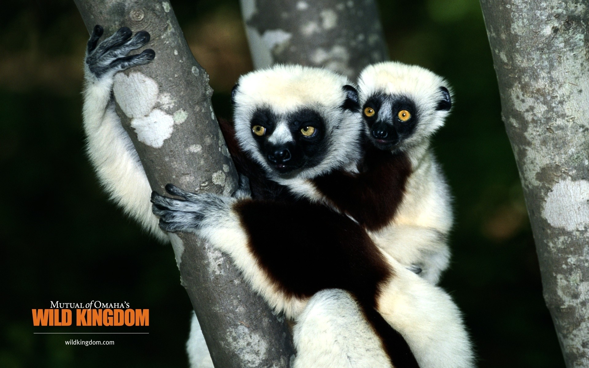 Res: 1920x1200, Image: Lemur wallpapers and stock photos. Â«
