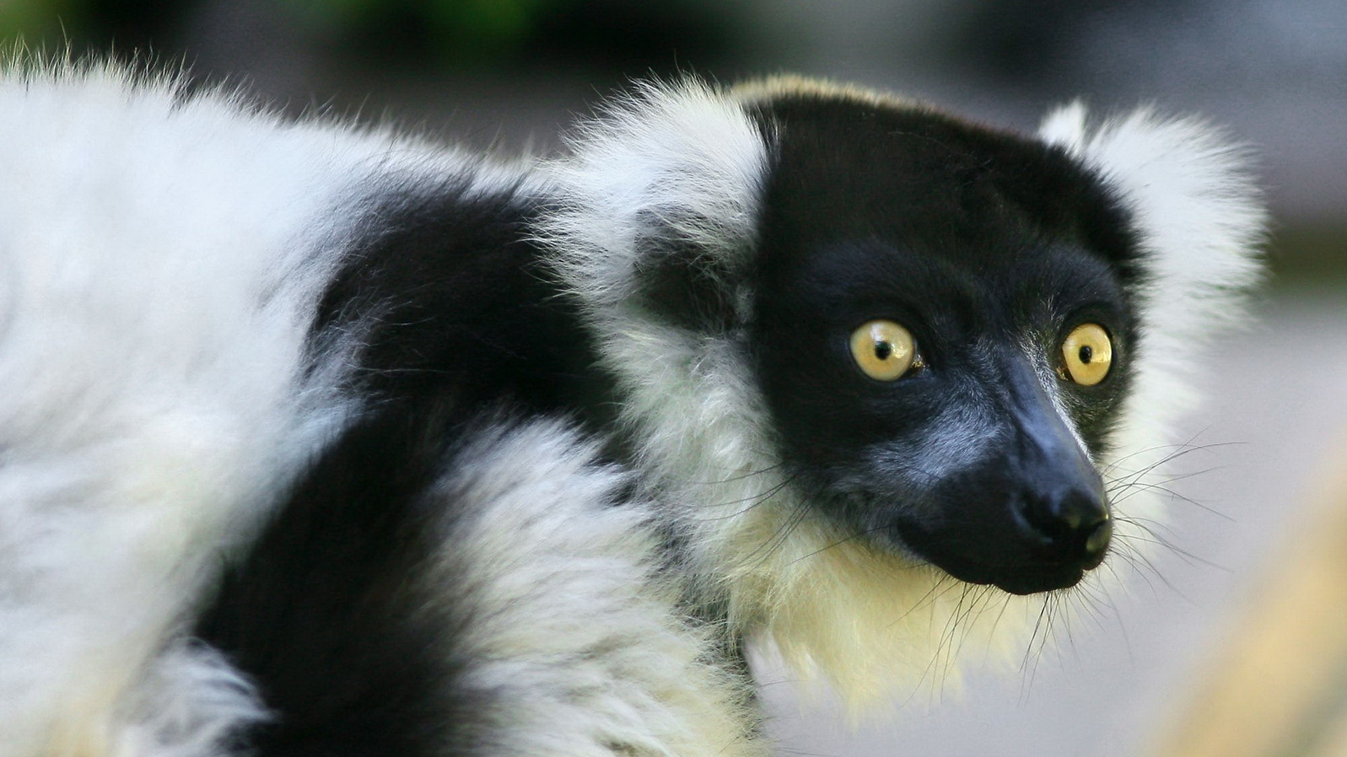 Res: 1920x1080, best, full hd, amazing, free, white apple,wild life, lemur,black,  and,_ Wallpaper HD