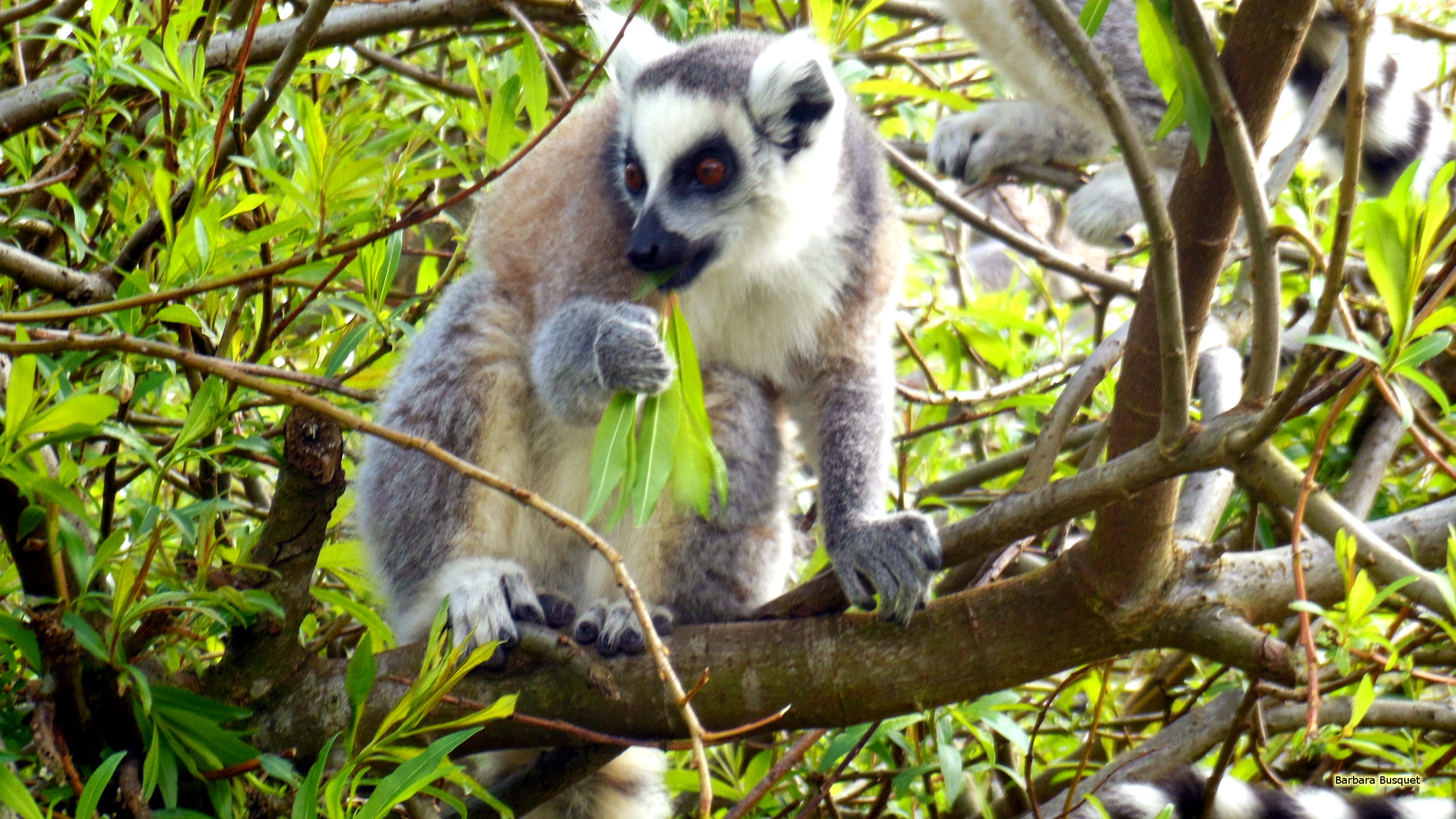 Res: 2560x1440, HD wallpaper ring-tailed lemur in tree