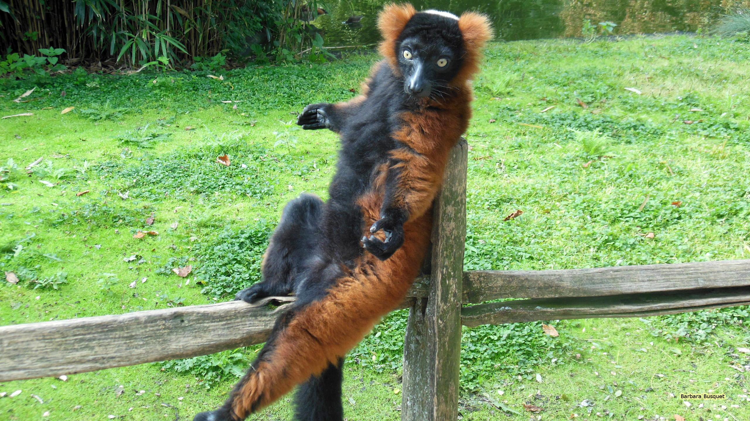 Res: 2560x1440, Ruffed lemur on a fence